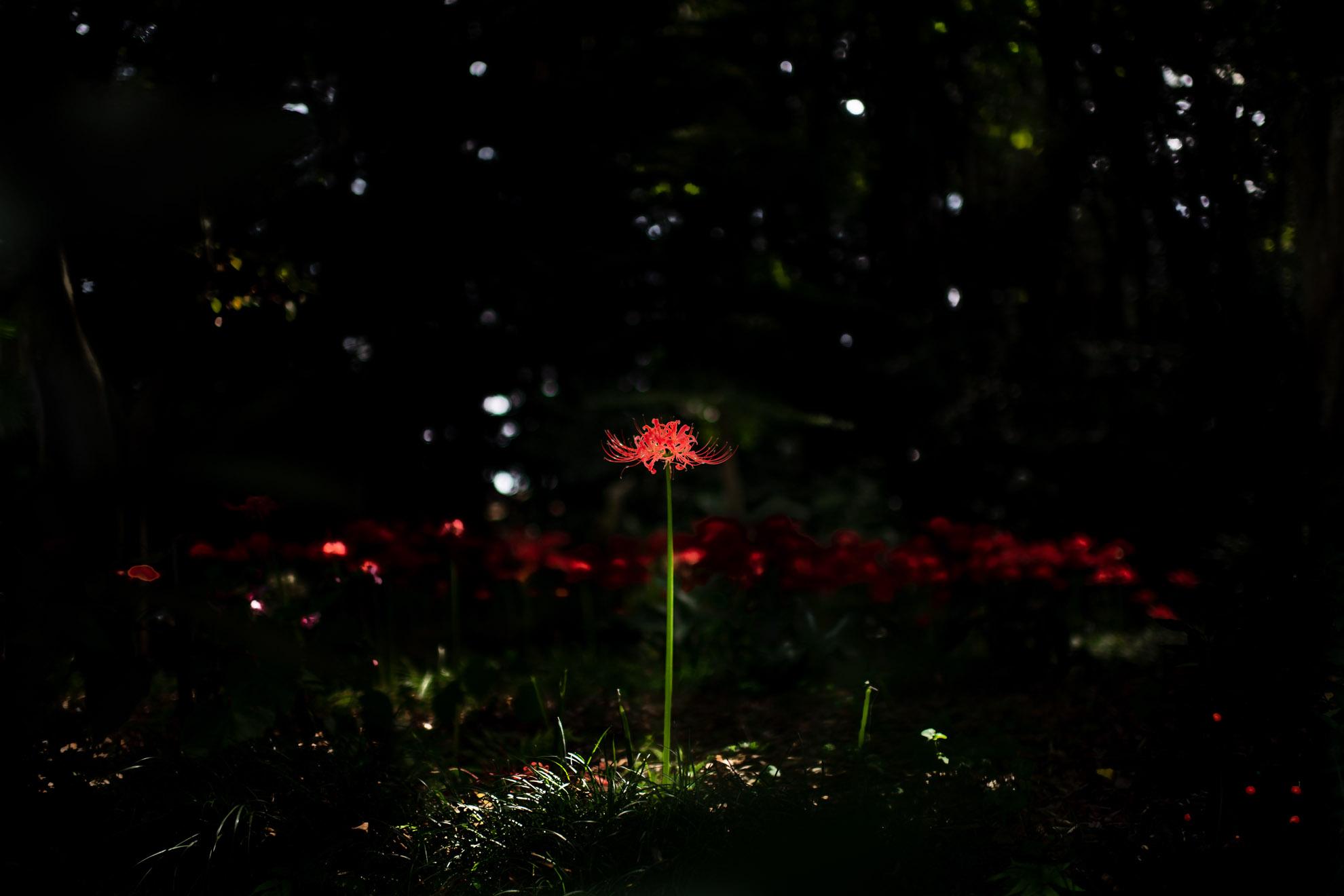 都立光が丘公園の彼岸花