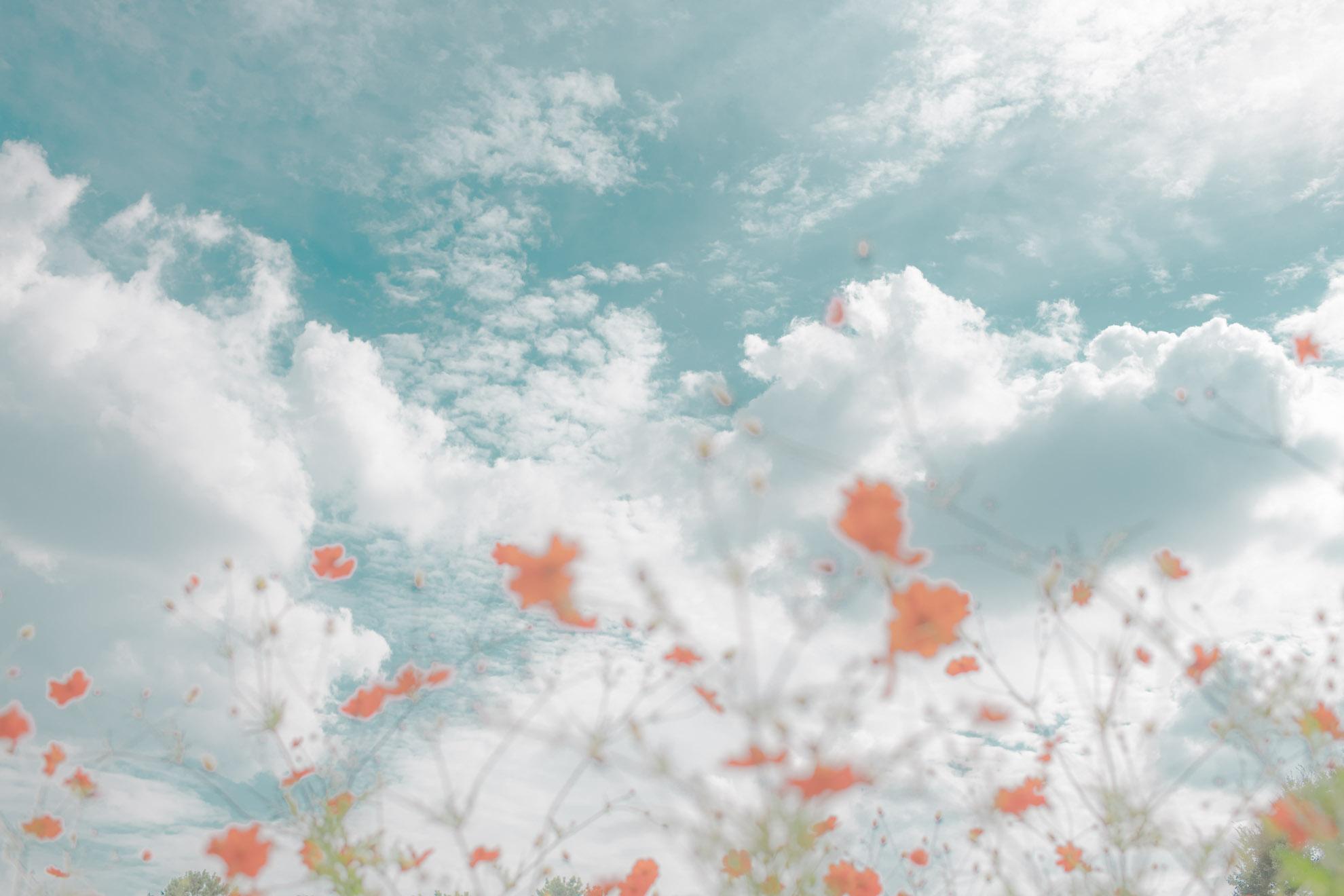 コスモスと秋の空