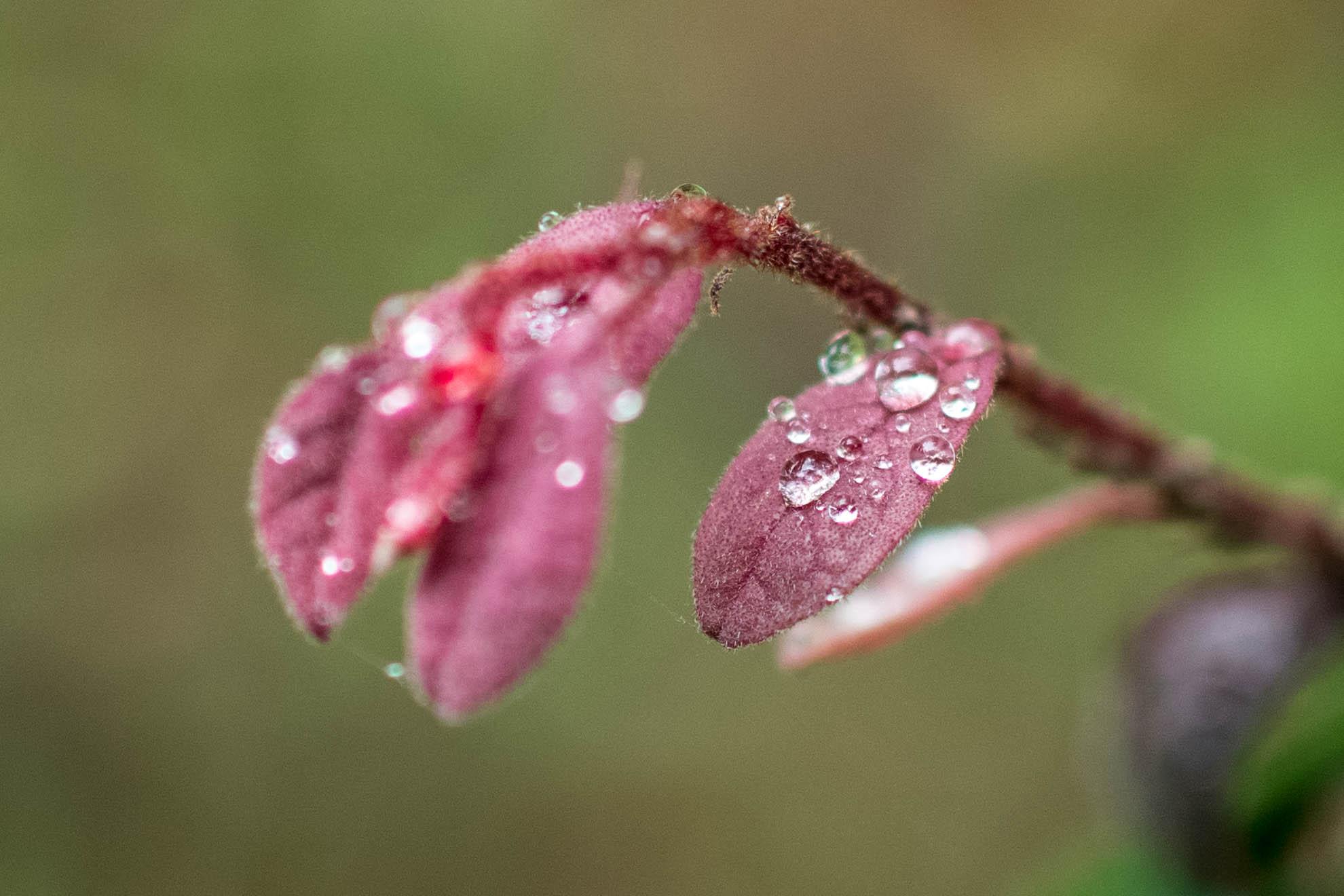 水の滴る赤い葉
