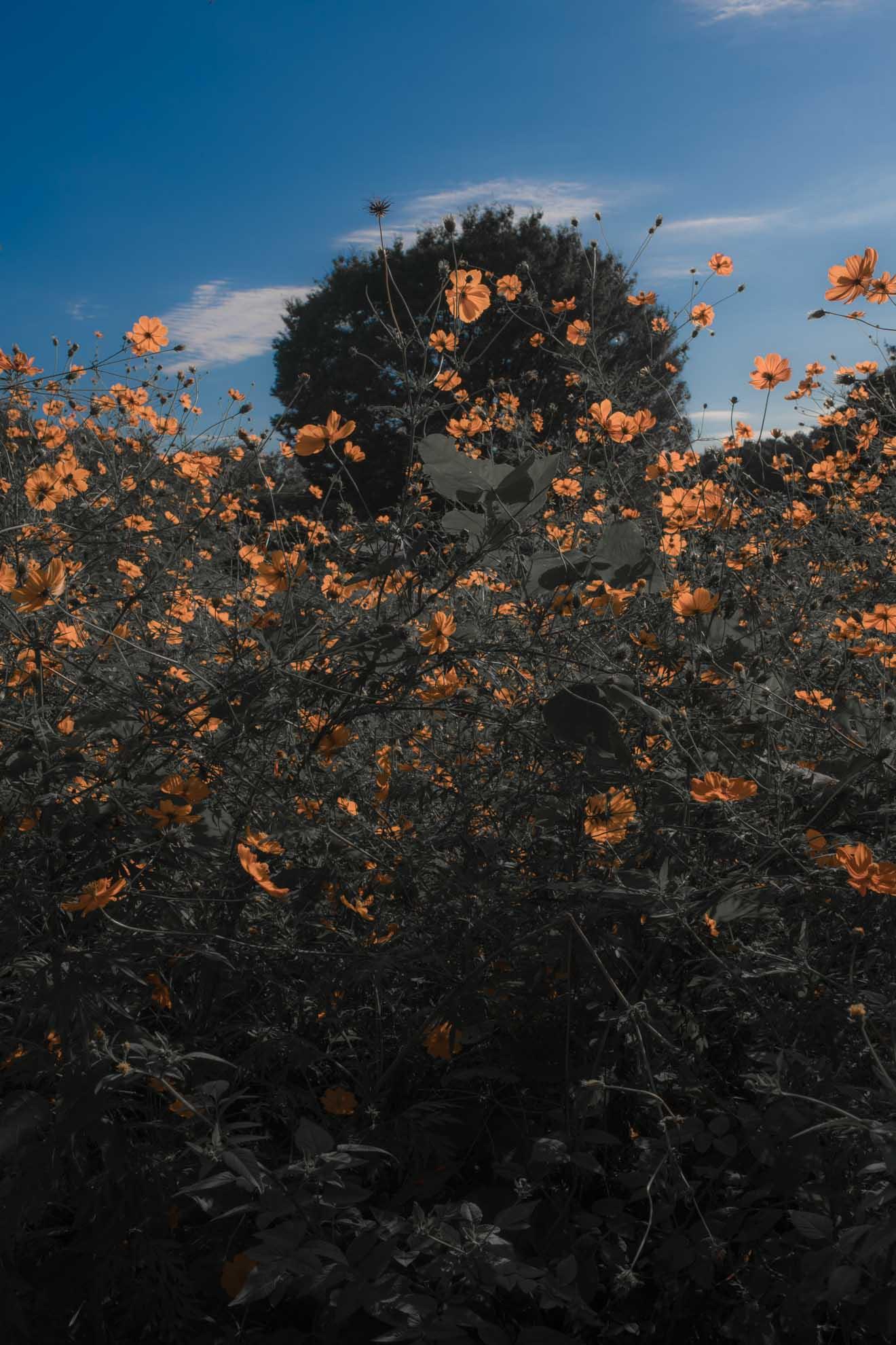 光が丘公園にて群生しているオレンジ色のキバナコスモス
