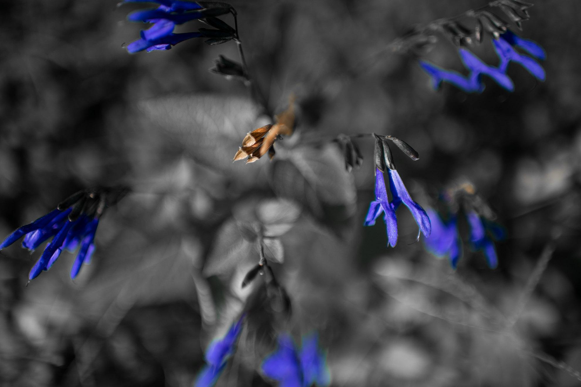紫色が高貴なサワギキョウ