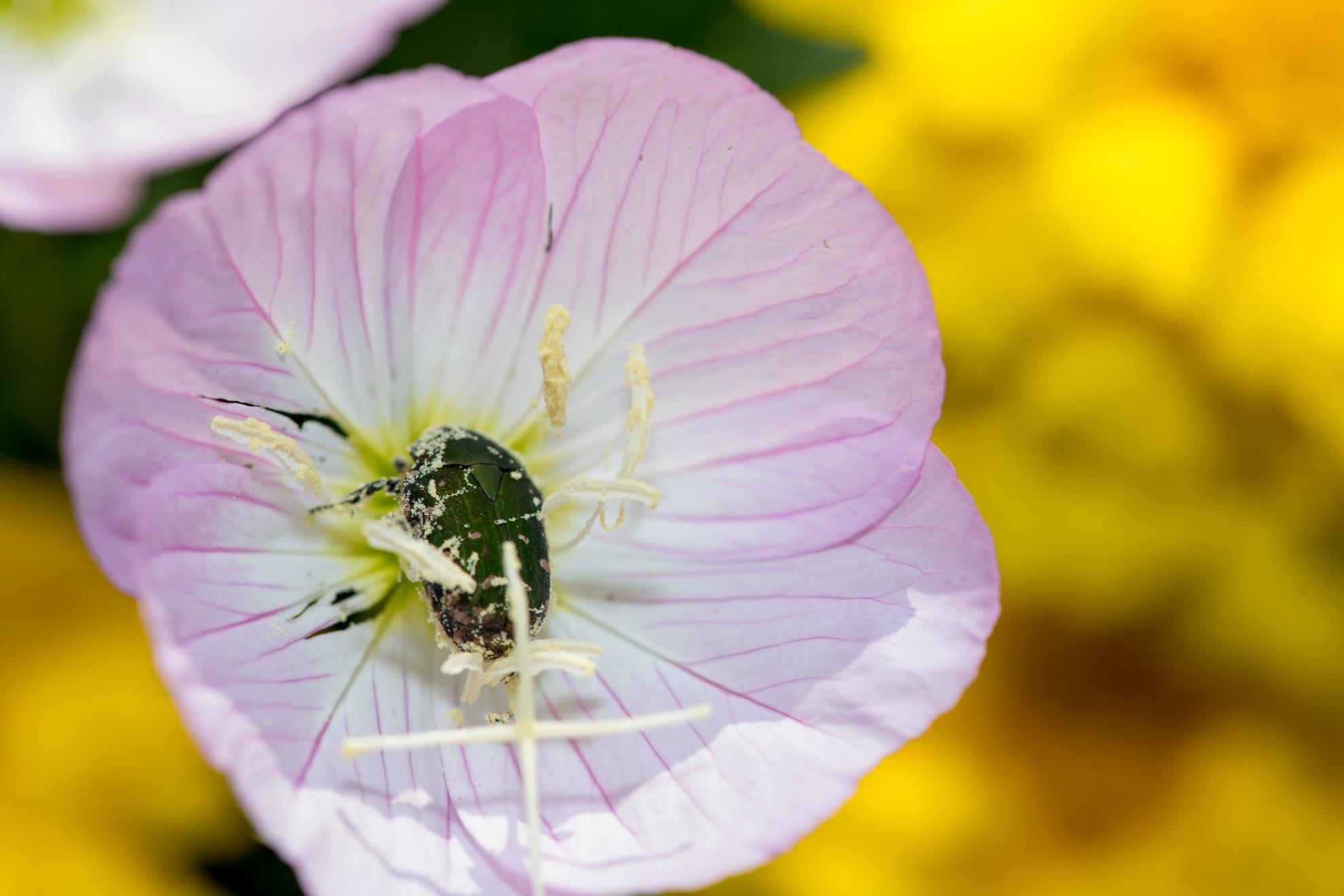 花とたわむれるコアオハナムグリ