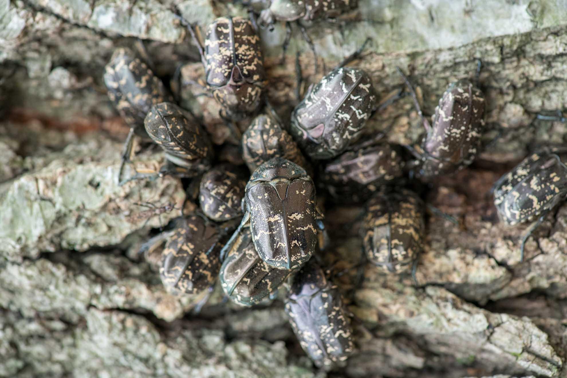 樹液に群がるシラホシハナムグリ
