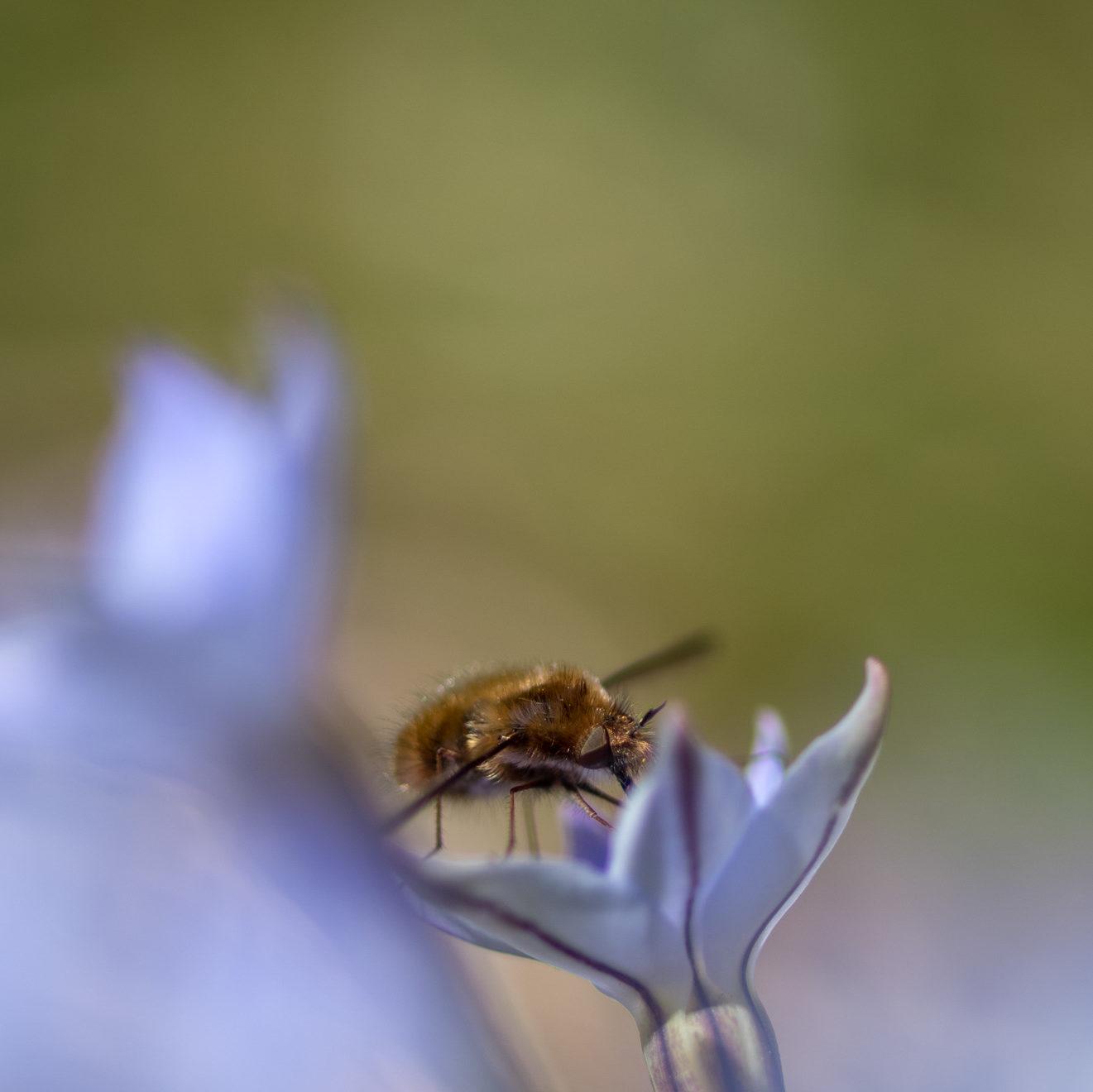 ビロウドツリアブ 〜クマバチのようで暗めのアブ〜
