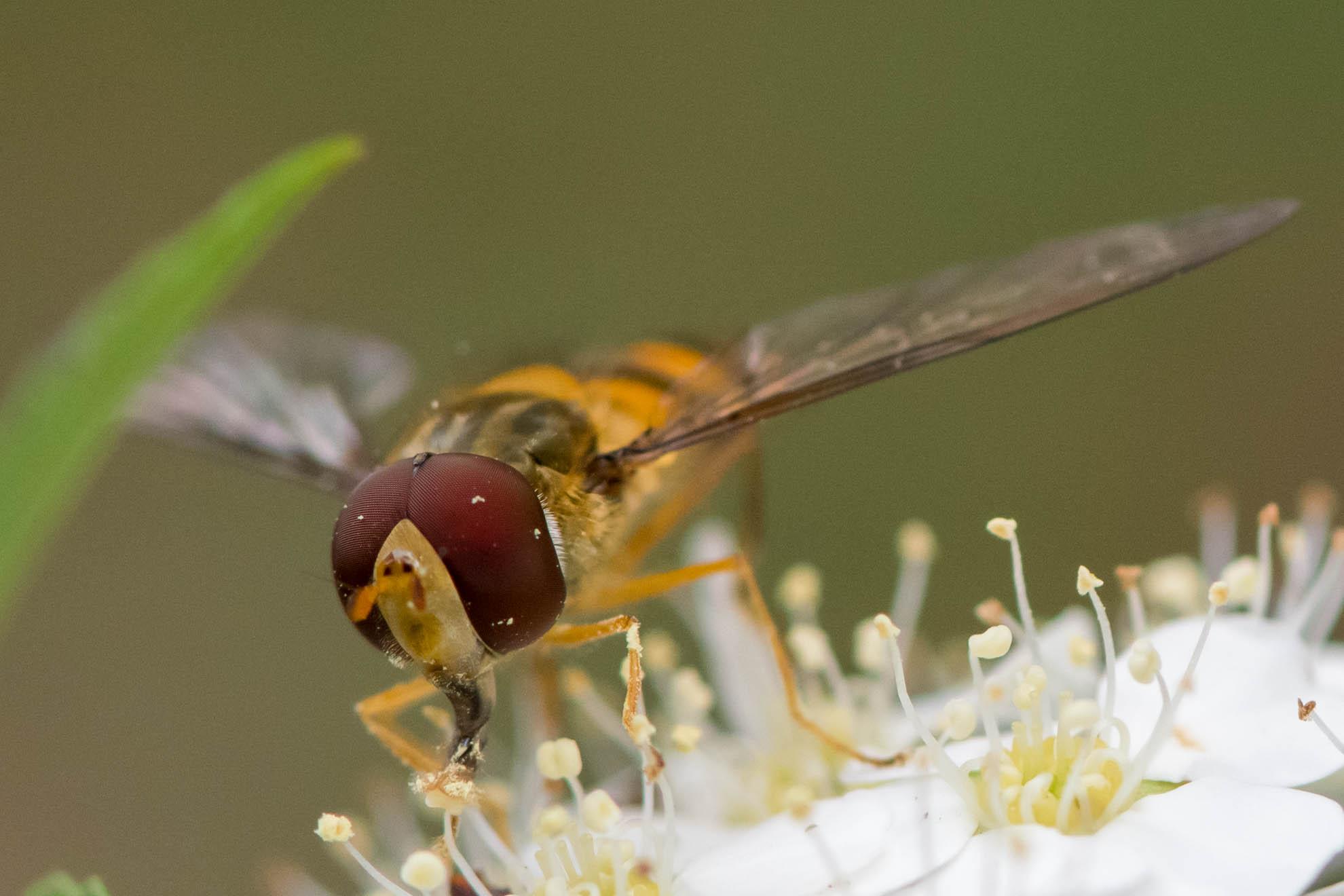 角度次第では完全にハチに見えるホソヒラタアブ