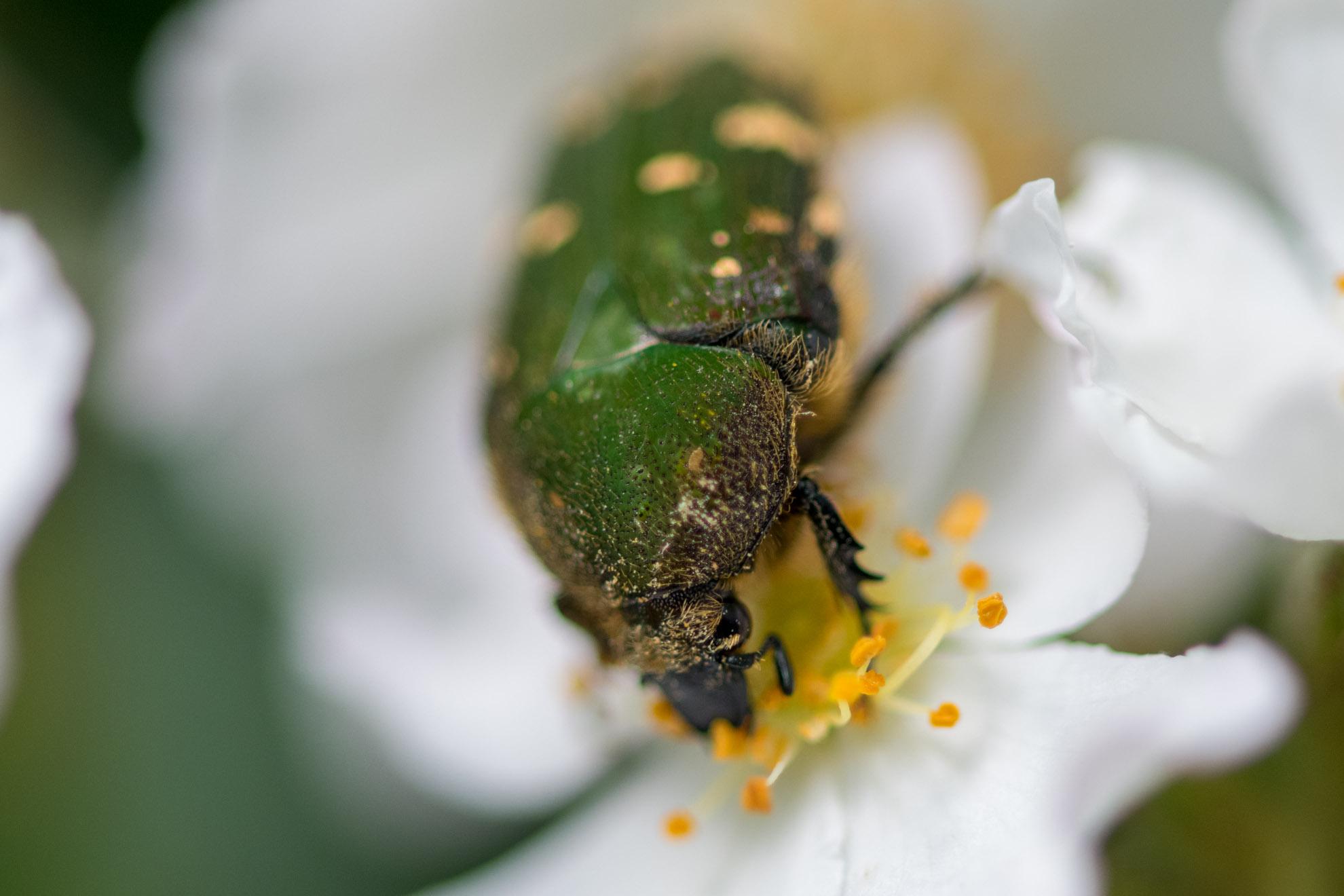 花粉を食べることにあまりにも夢中になりすぎるコアオハナムグリ