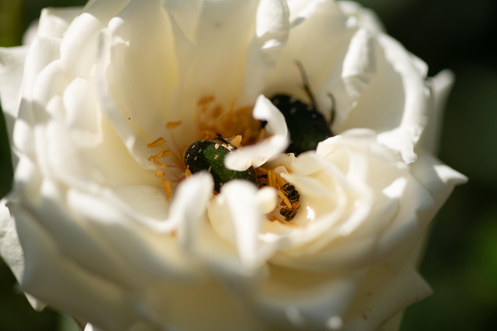 一つの花に複数のコアオハナムグリが!