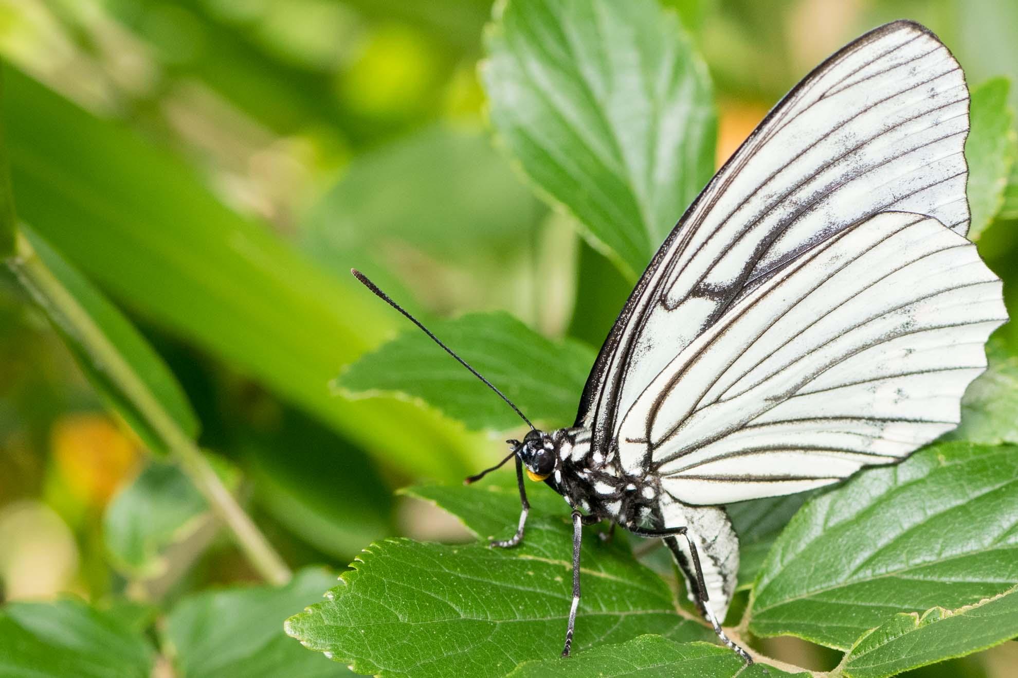 白い羽に黒いスジ、口が黄色のアカボシゴマダラの春型