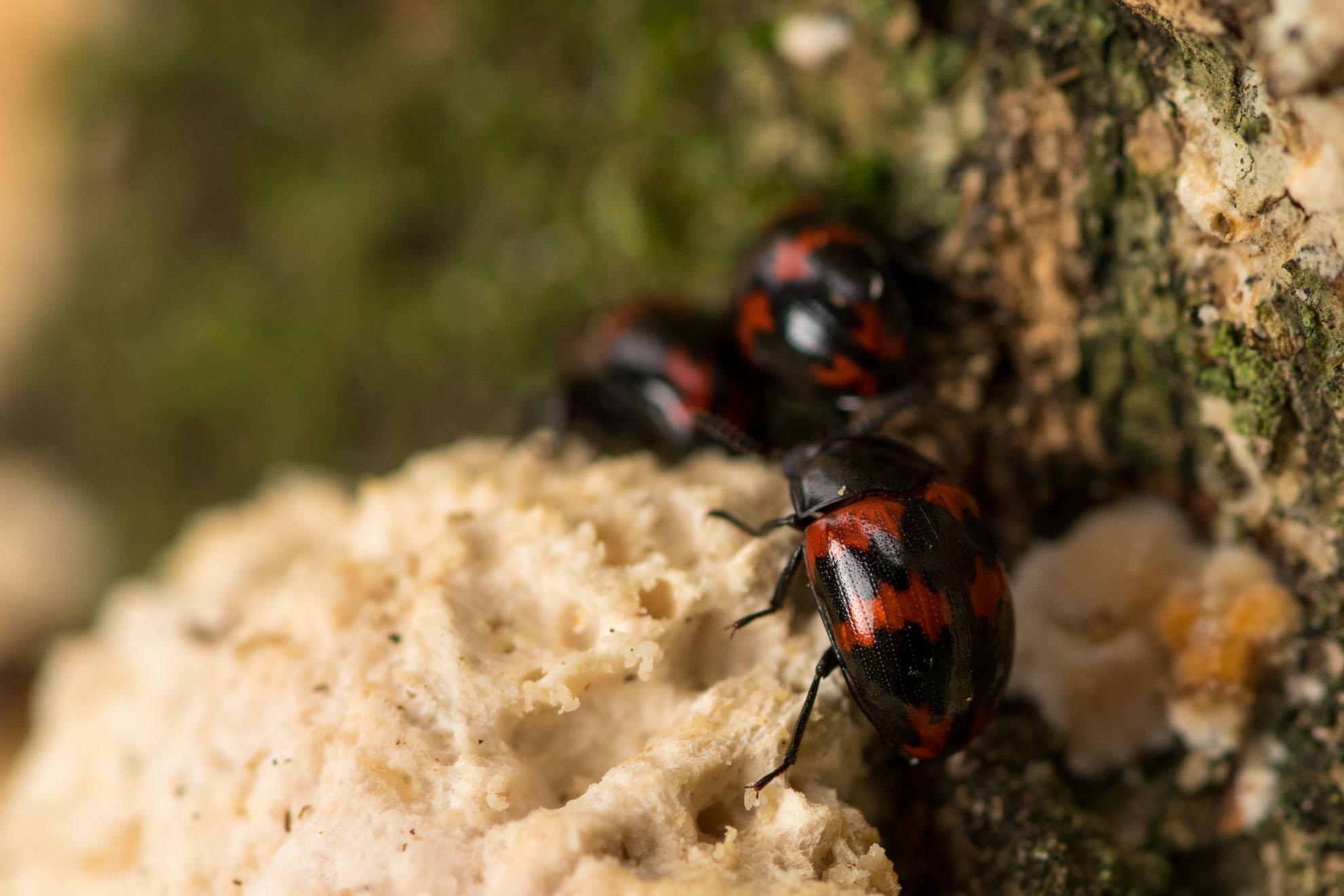 黒とアカの甲虫のモンキゴミムシダマシ