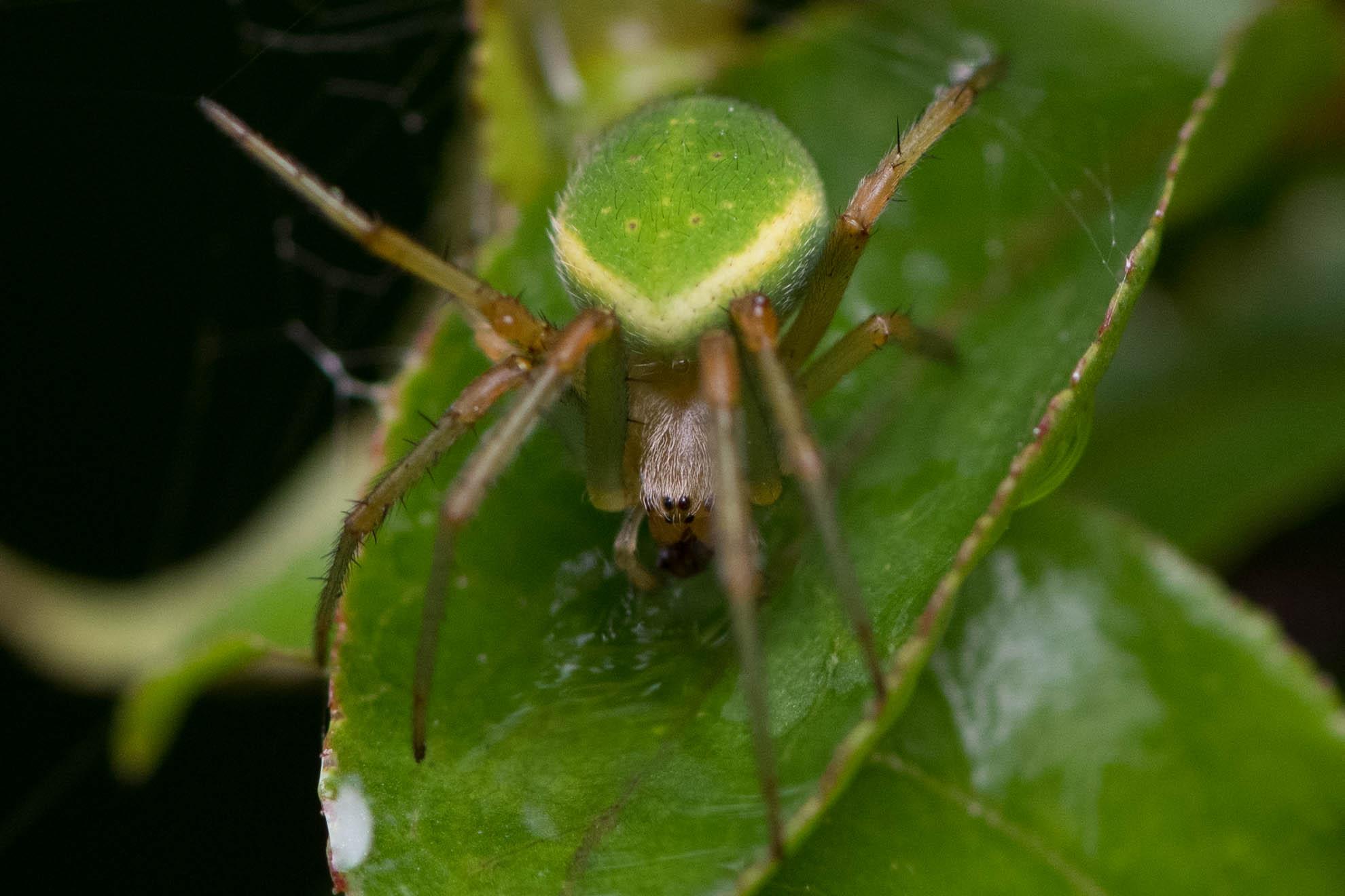 体が緑色の蜘蛛のサツマノミダマシ