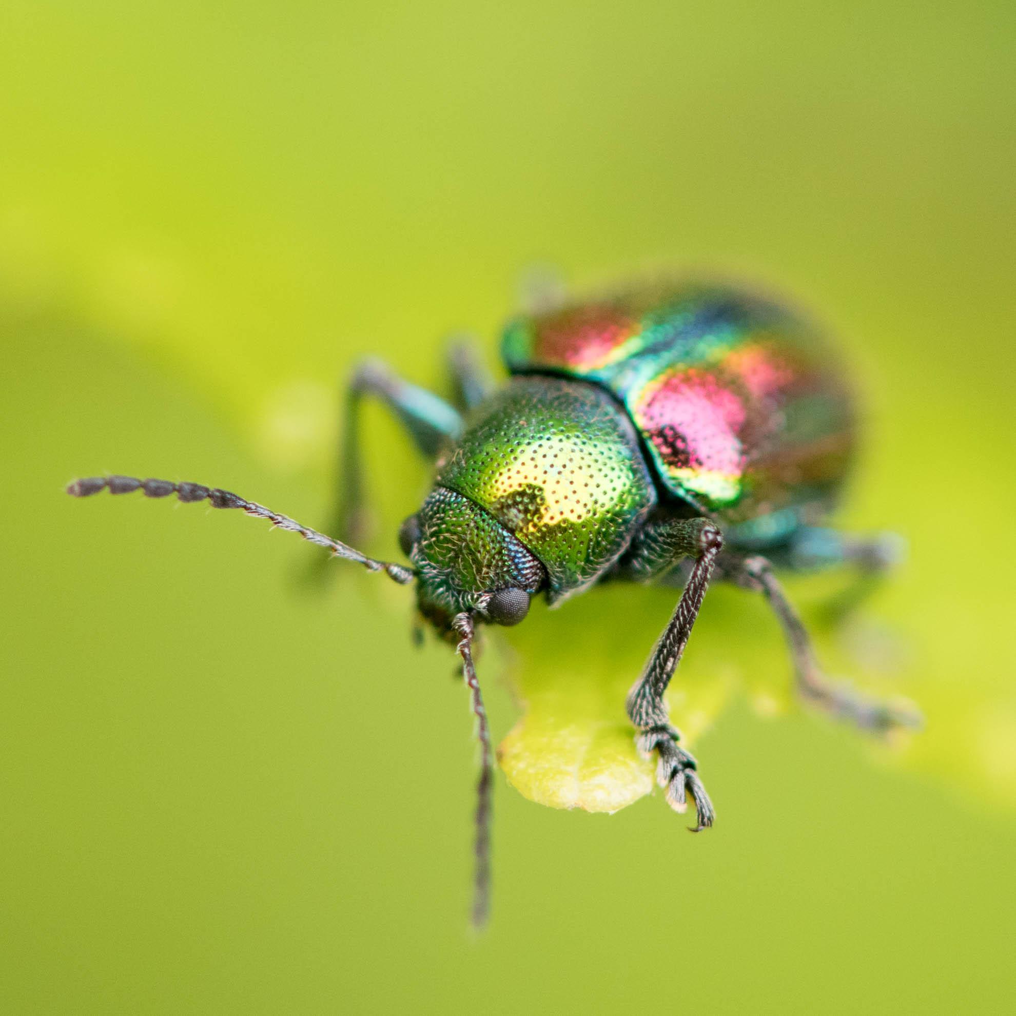 虹色の甲虫のアカガネサルハムシ
