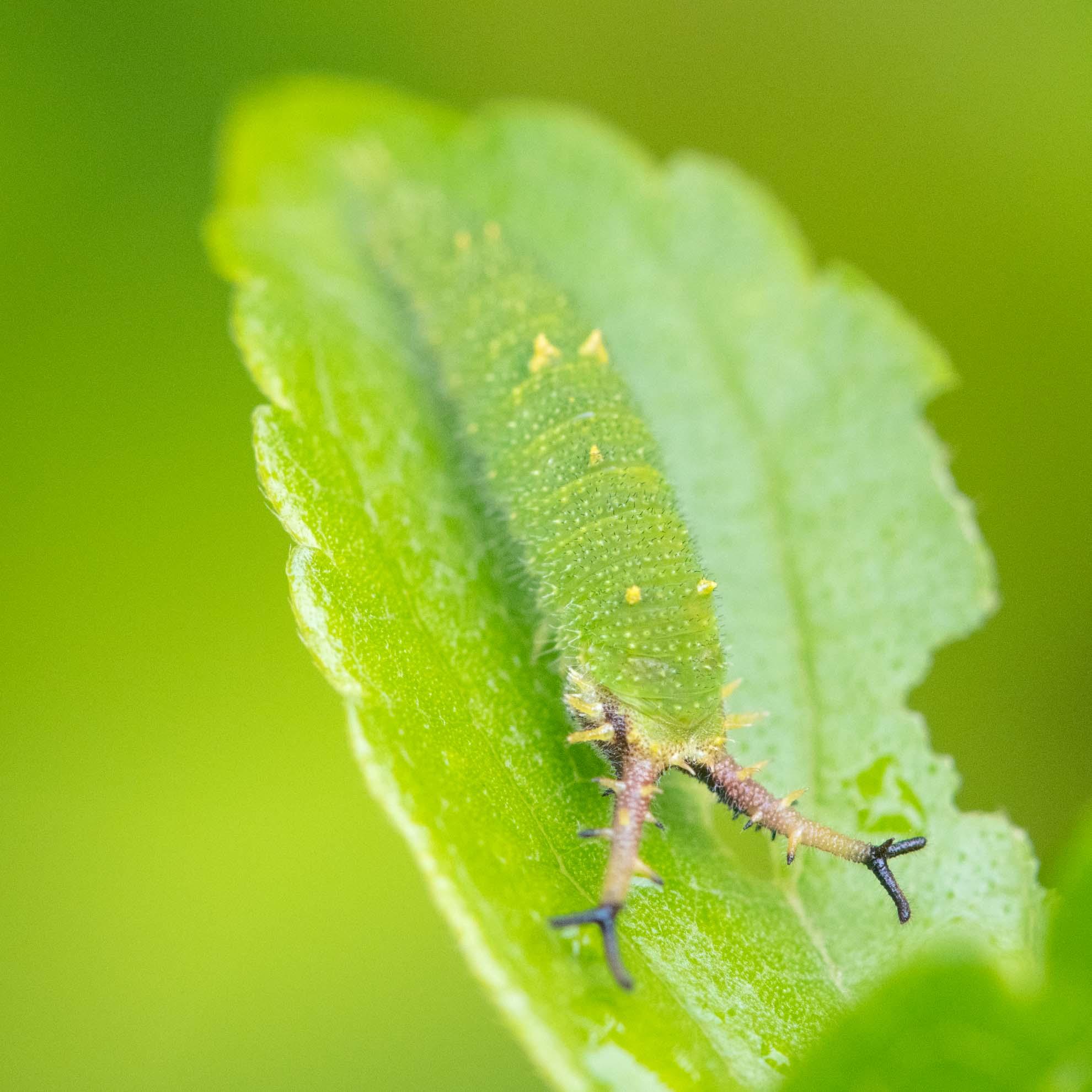 アカボシゴマダラの幼虫