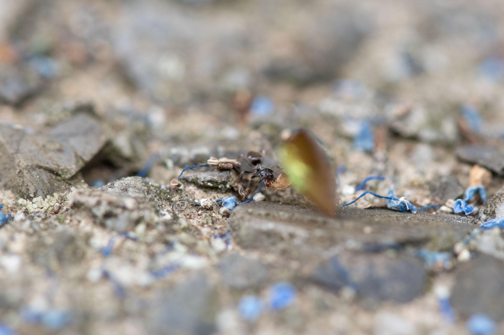 甲虫の羽を運ぶアリ