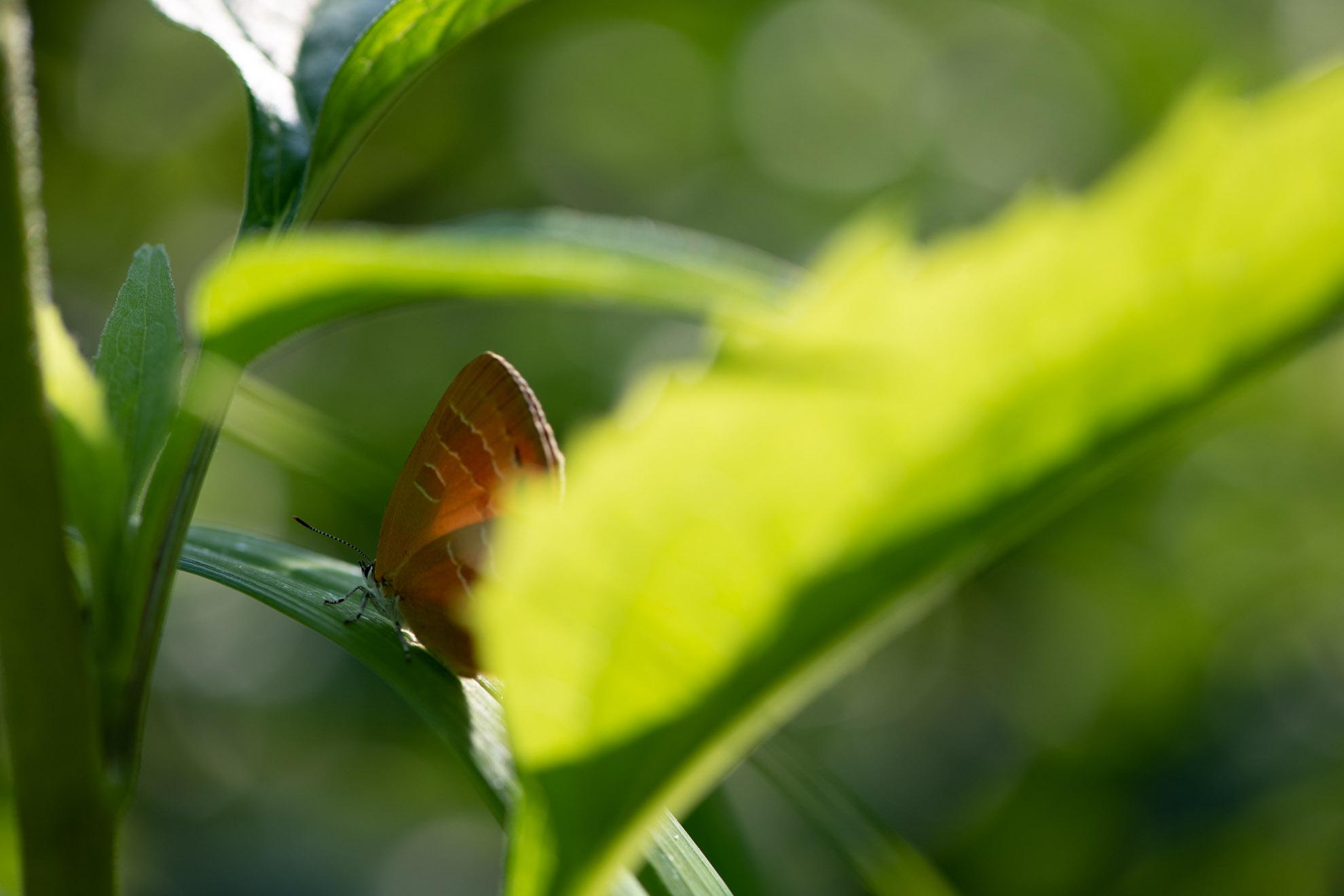 【発見!】アカシジミ Japonica lutea