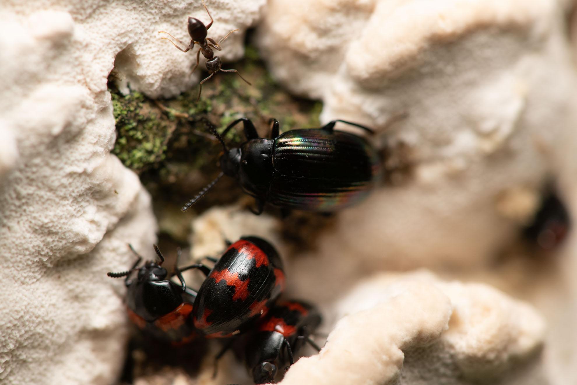 虹色の甲虫のニジゴミムシダマシとモンキゴミムシダマシ