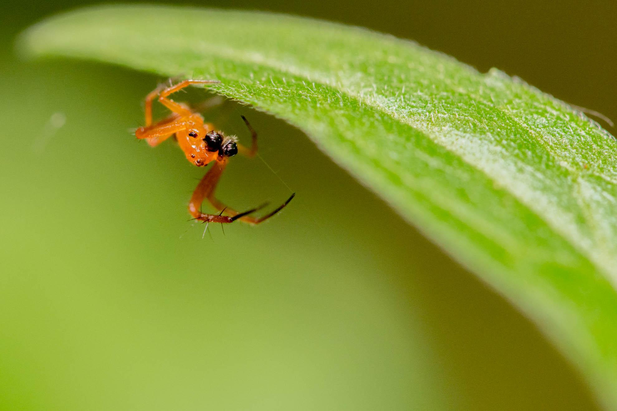 体がオレンジ色で顔が黒い蜘蛛