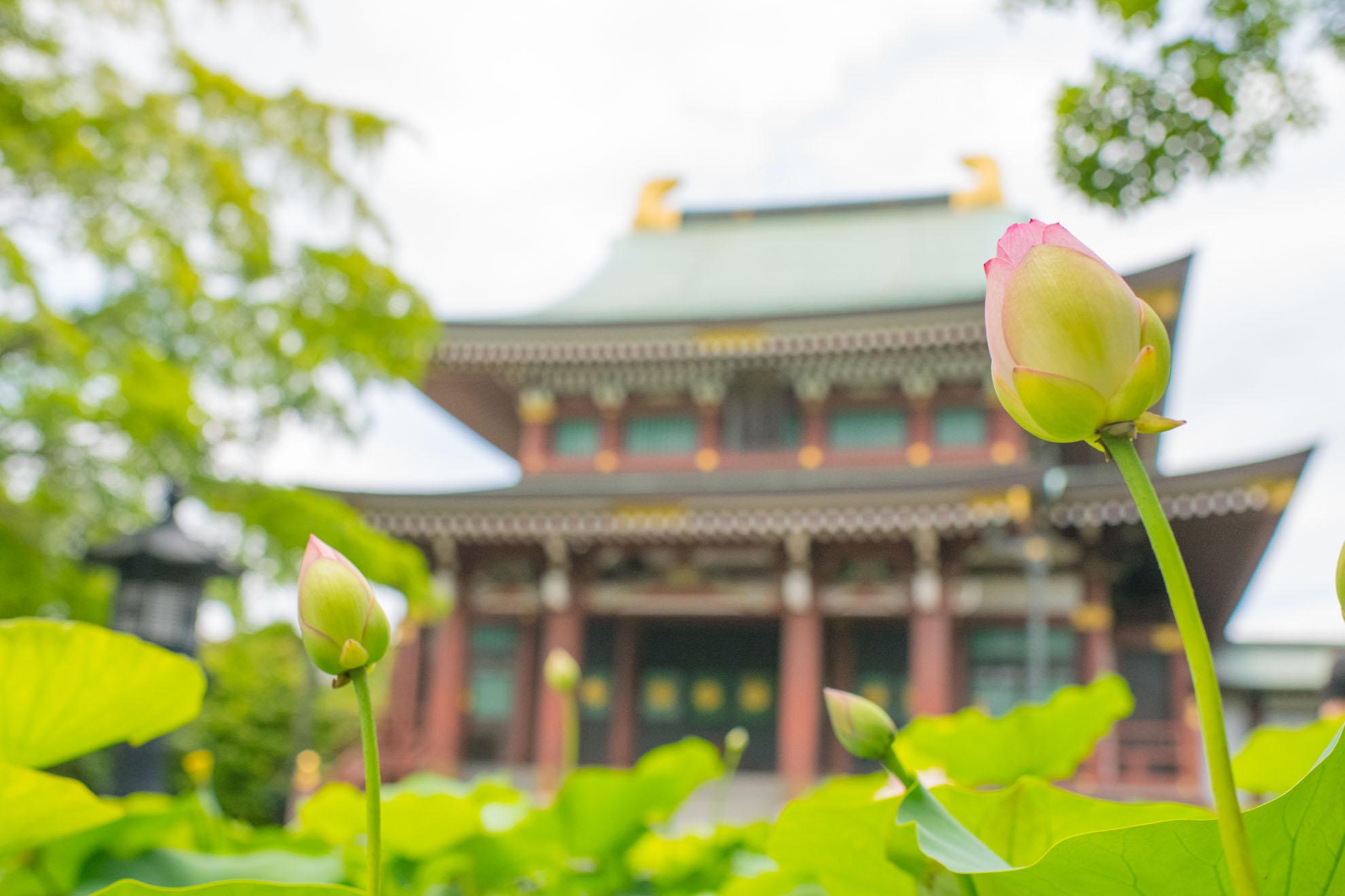 蓮の花の蕾