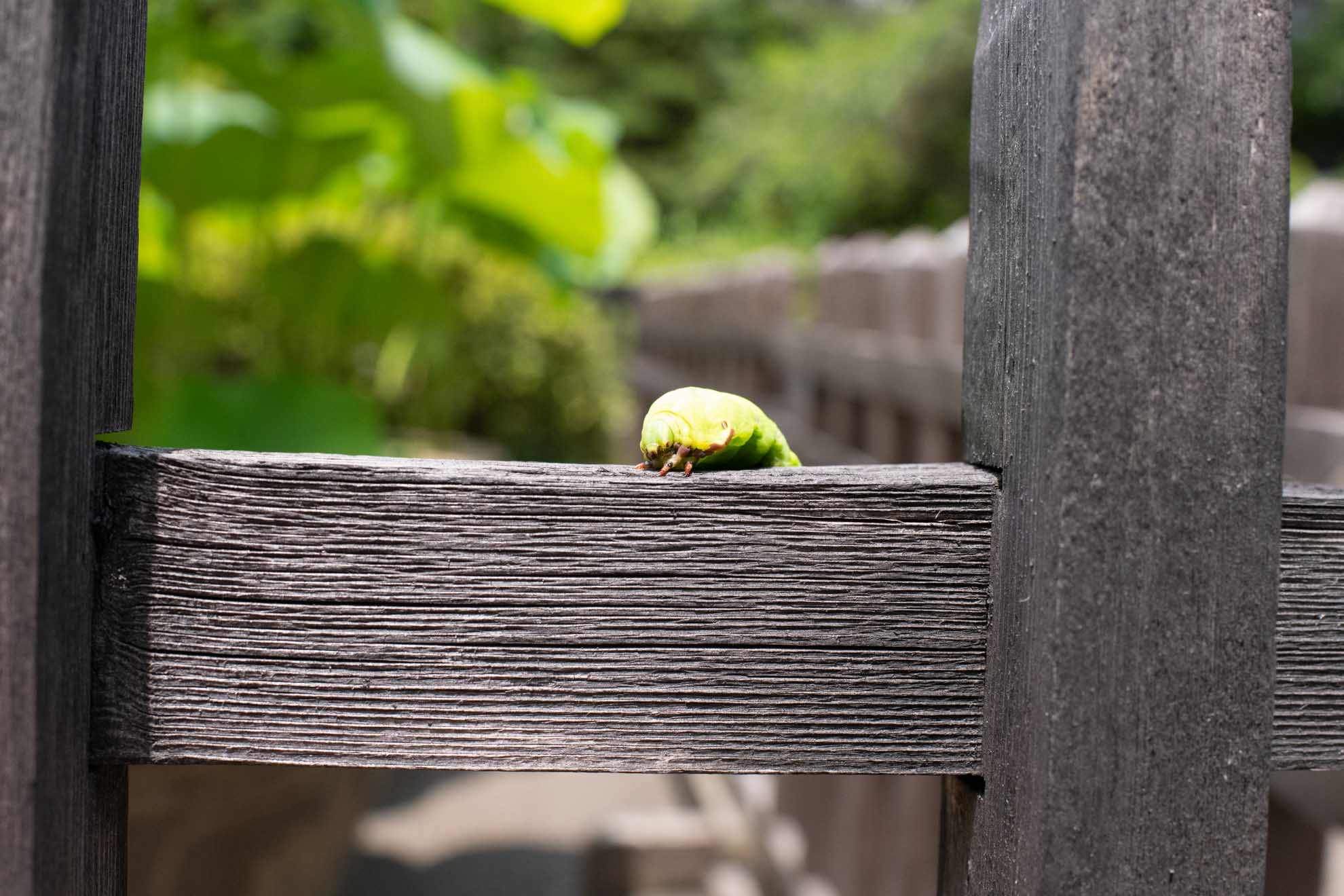 スズメガ系のイモムシ