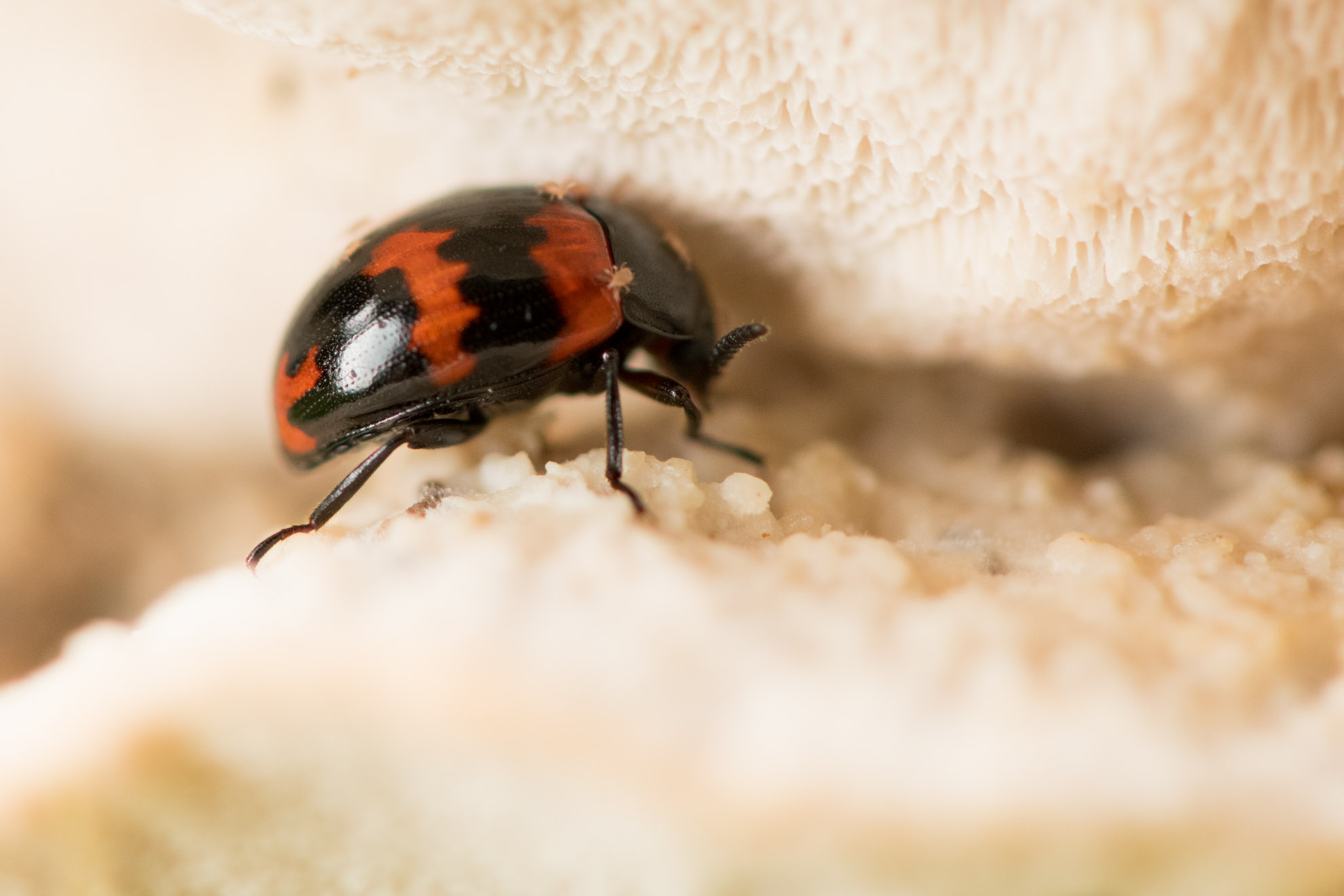 赤と黒の甲虫のモンキゴミムシダマシ