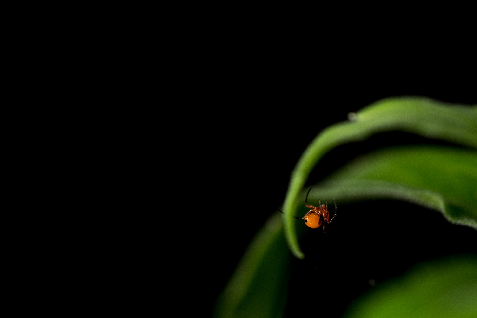 シロスジショウジョウグモ