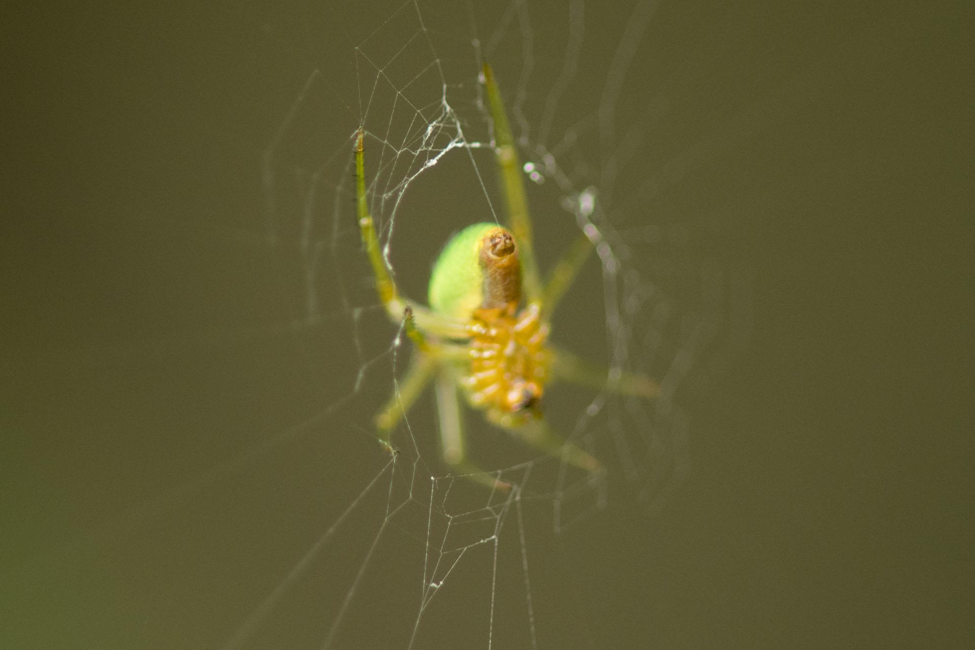 緑色の蜘蛛のサツマノミノダマシ