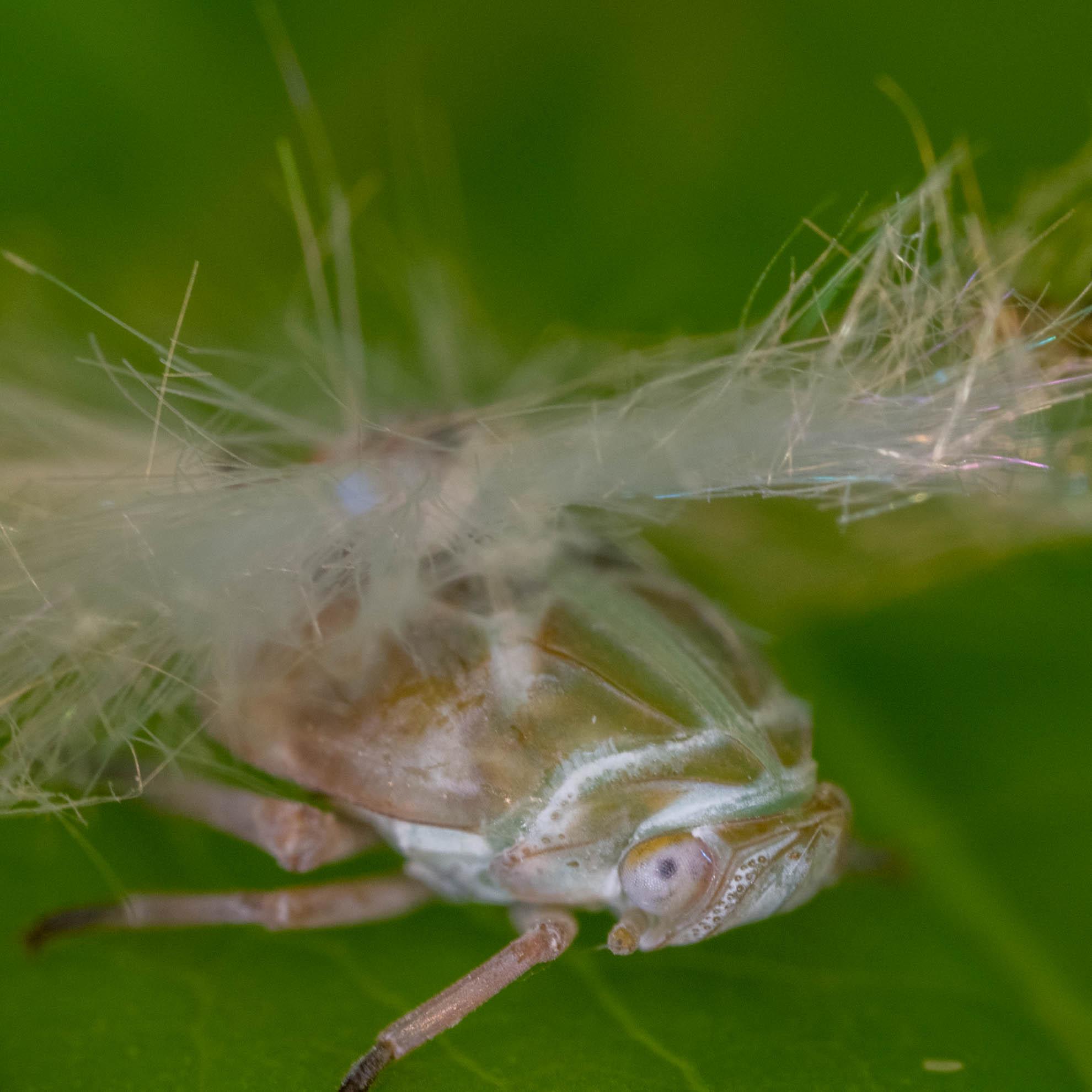 アミガサハゴロモの幼虫
