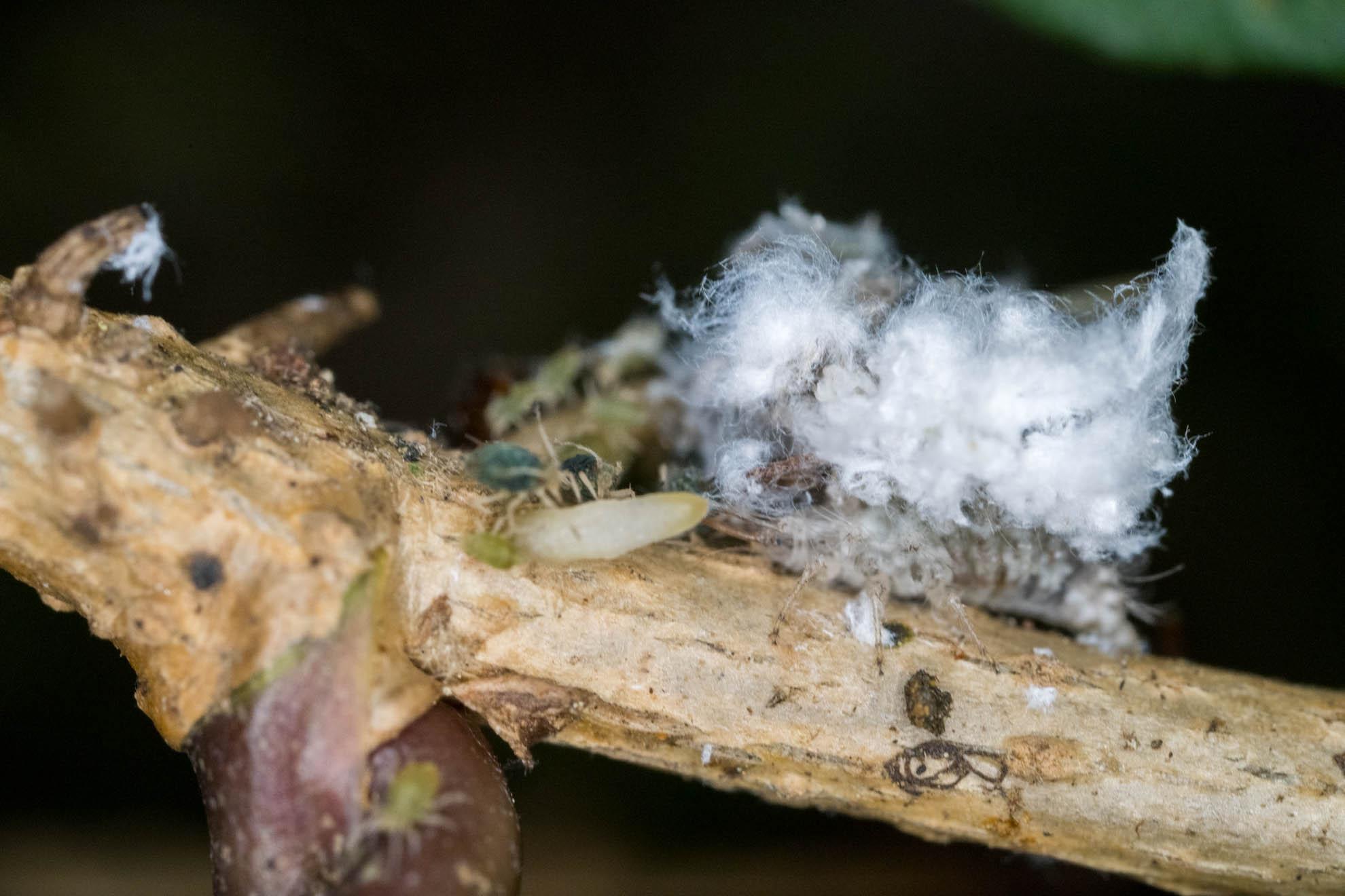 クサカゲロウの幼虫とアリとアブラムシと