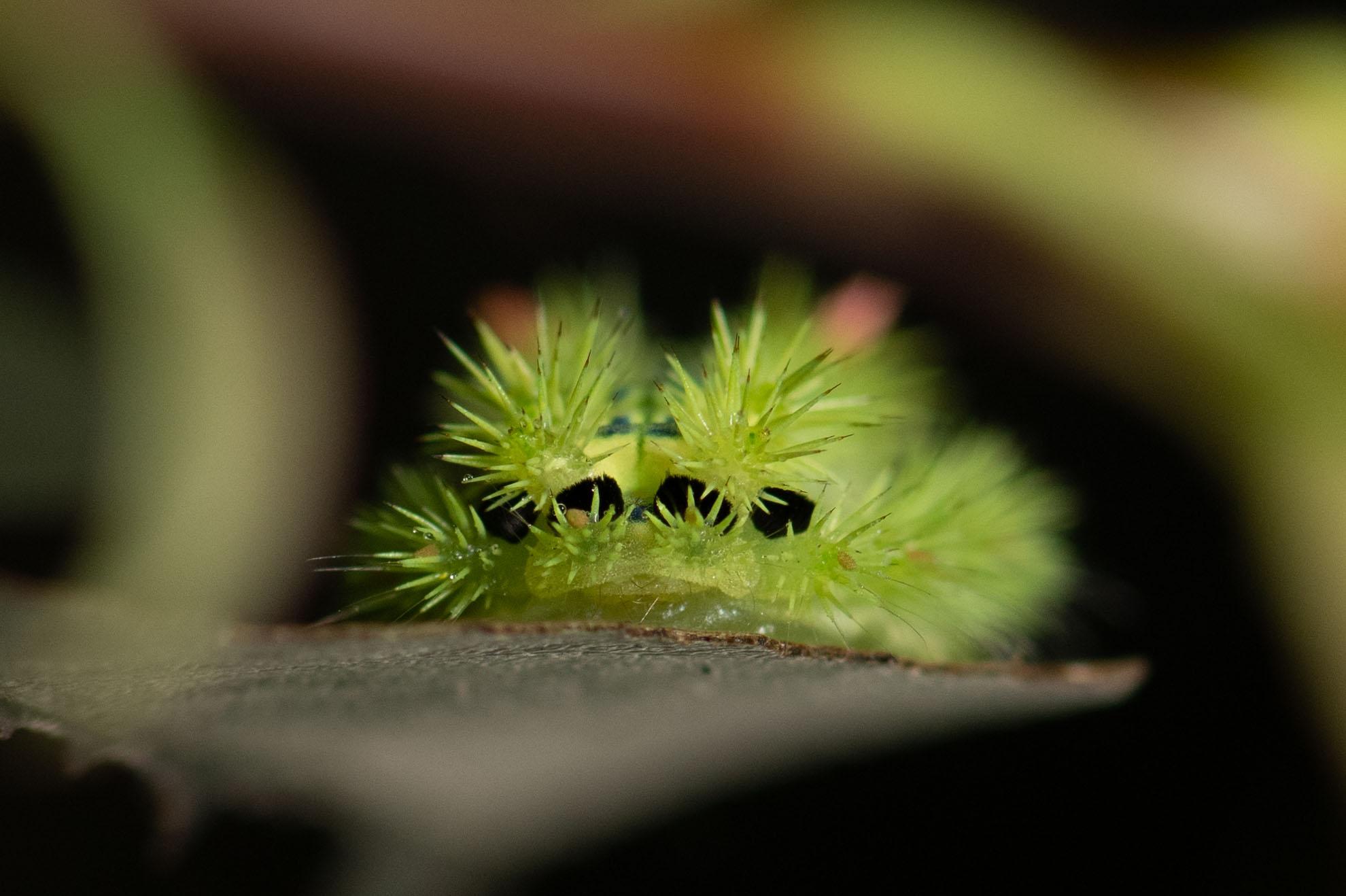 光が丘公園の危険な虫・昆虫・いもむしのヒロヘリアオイラガ