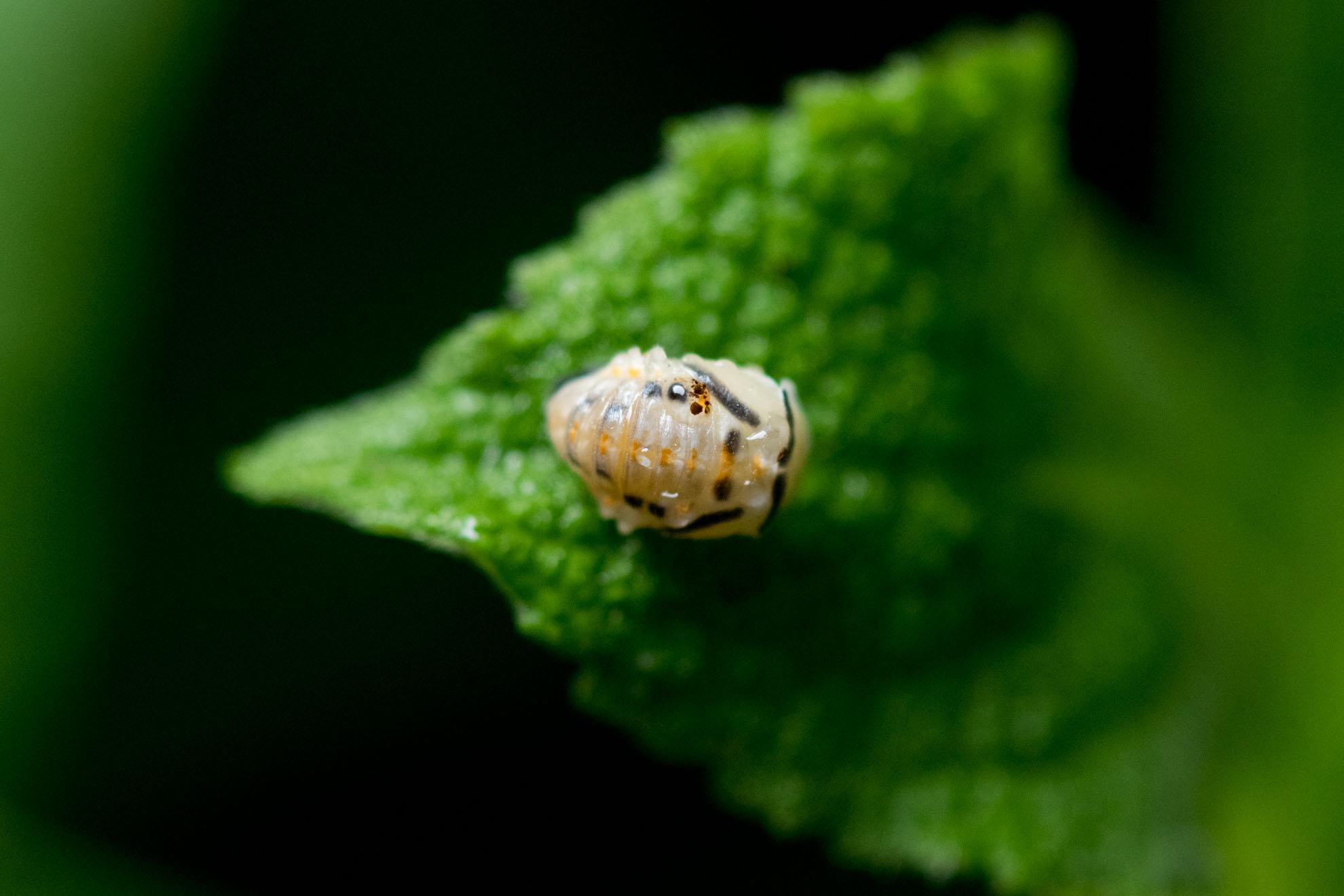 てんとう虫の蛹