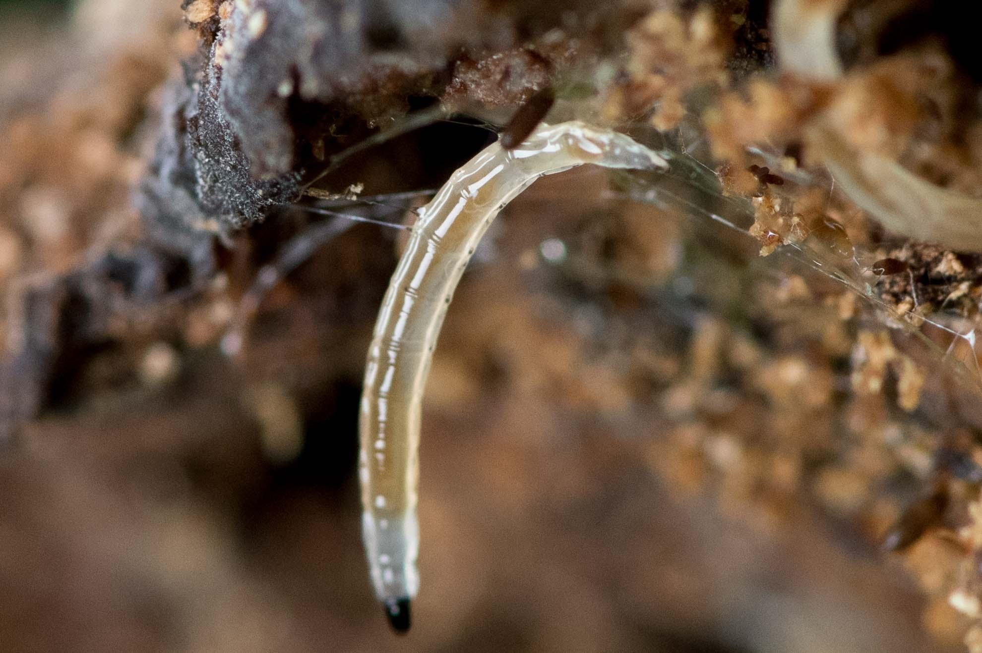 長細い透明な虫