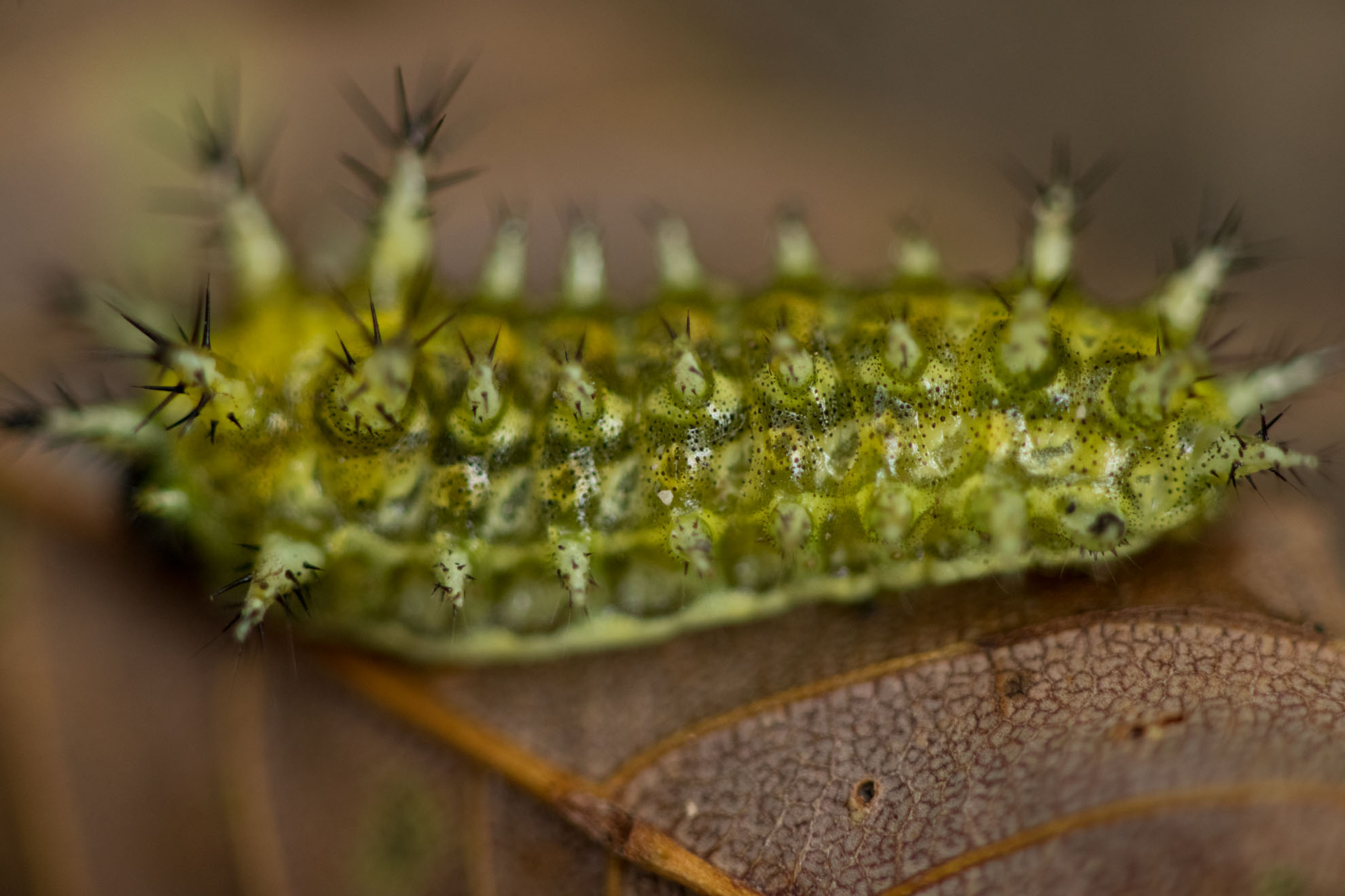 光が丘公園の危険な虫・昆虫・いもむしのヒメクロイラガ