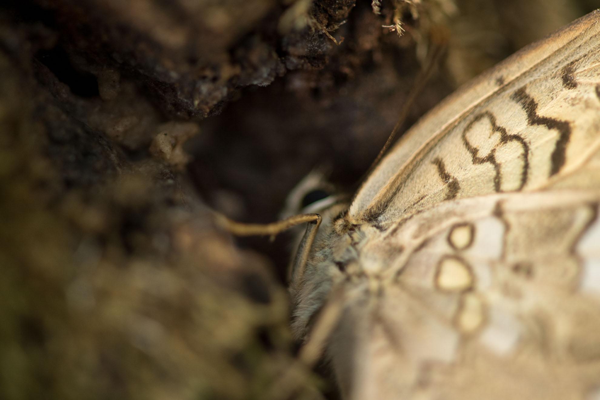 樹液に集まる蝶でおなじみのサトキマダラヒカゲ