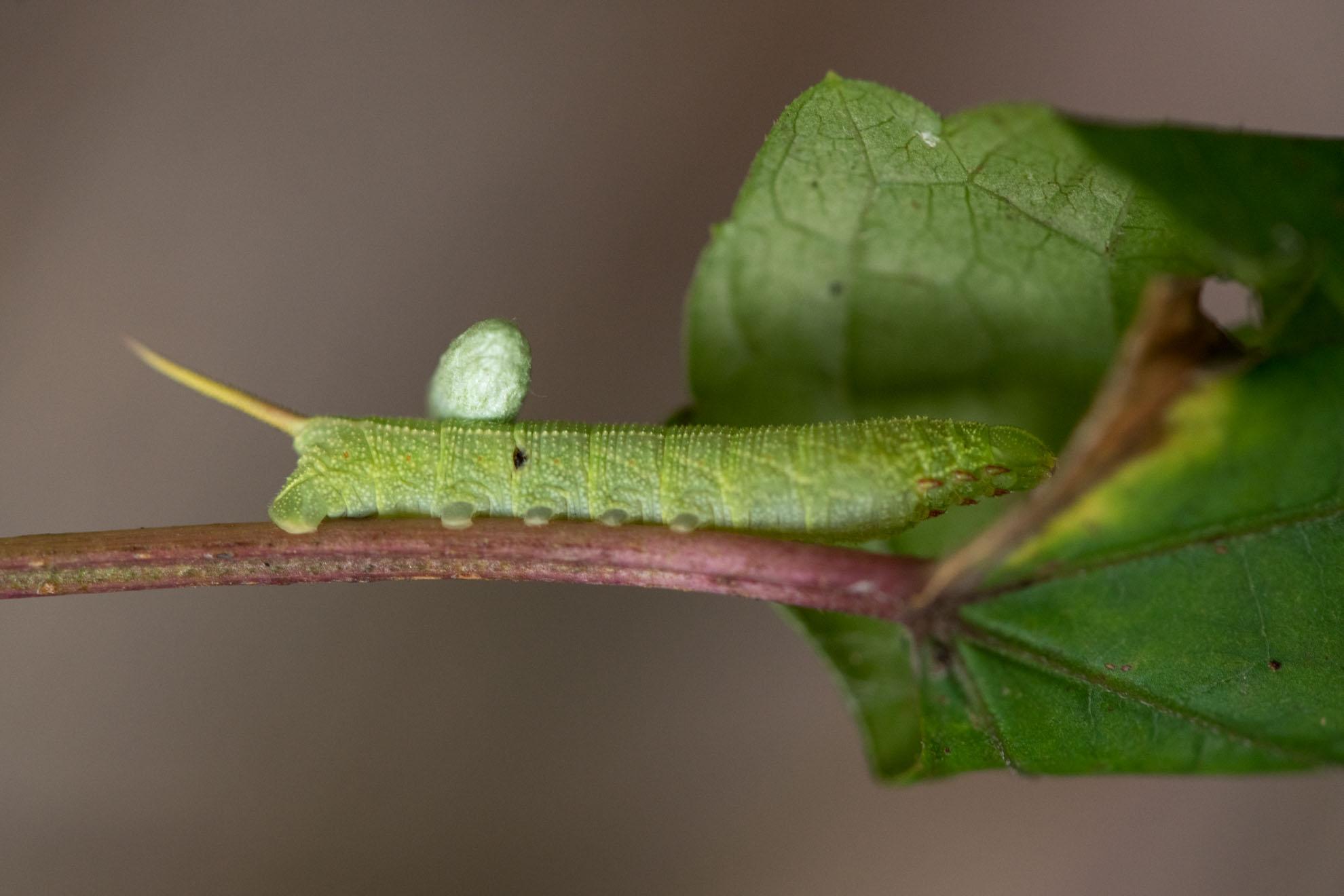 卵を産み付けられたスズメガの幼虫