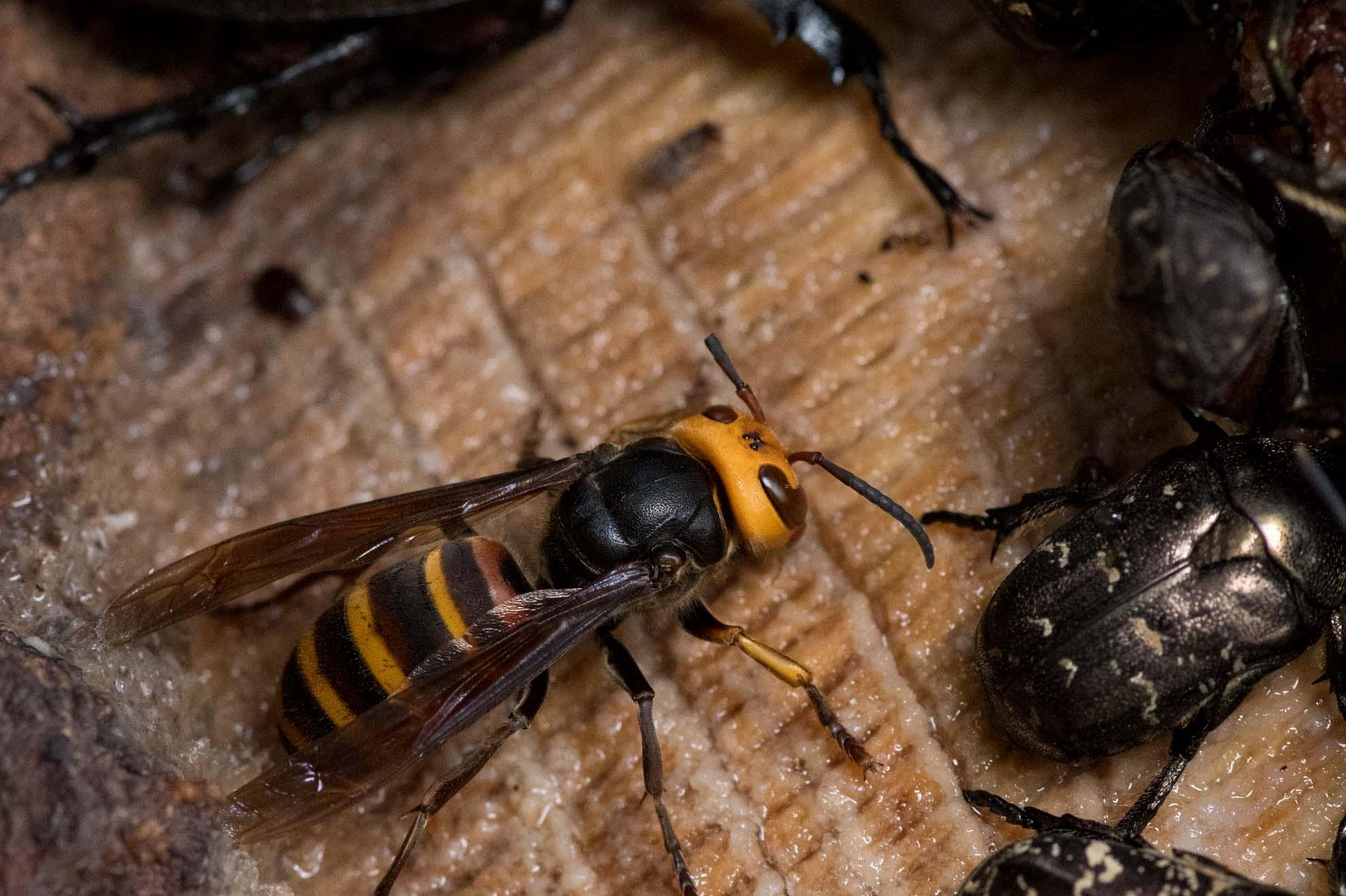 樹液をすするコガタスズメバチ