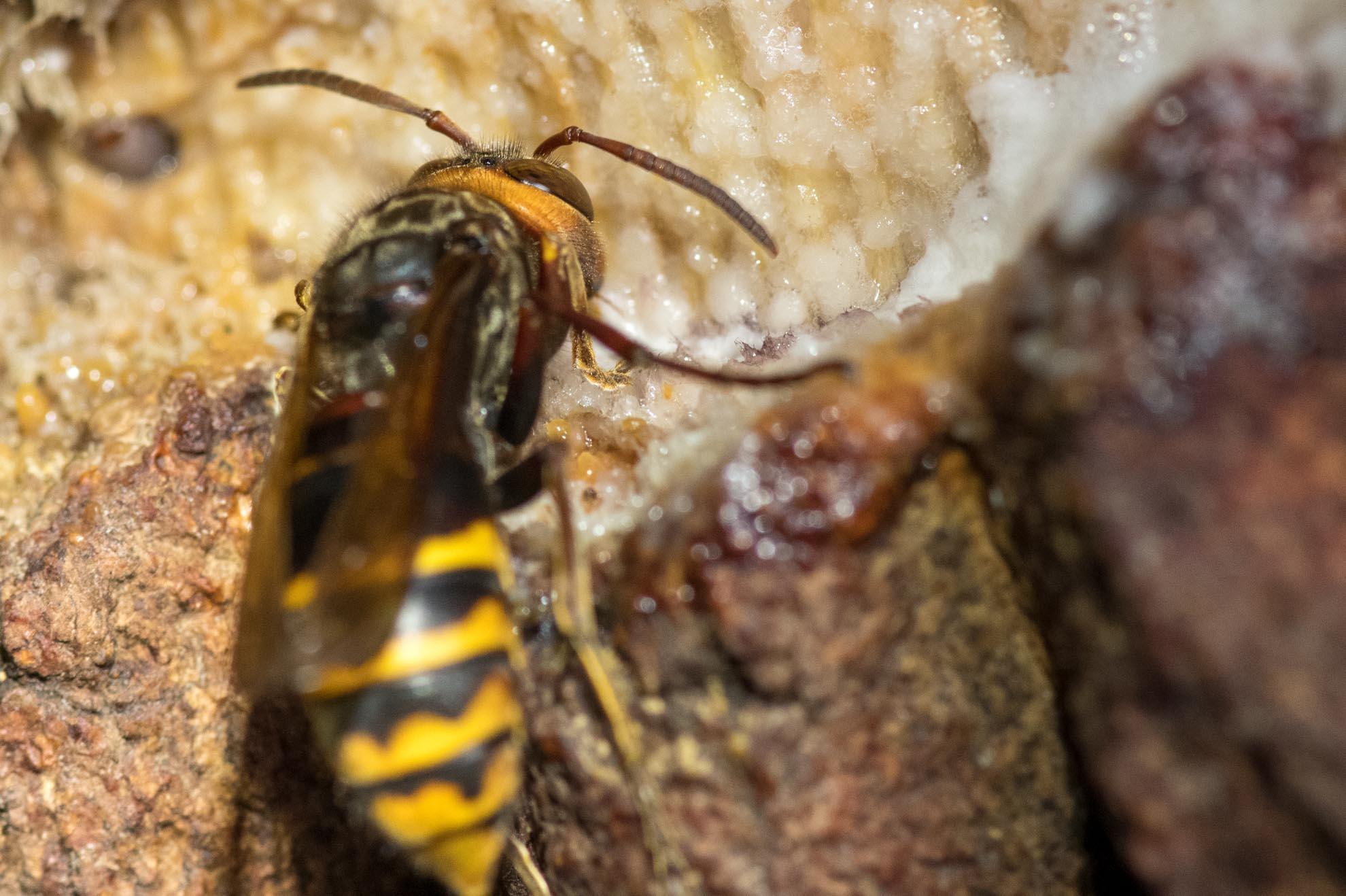 樹液をすするモンスズメバチ