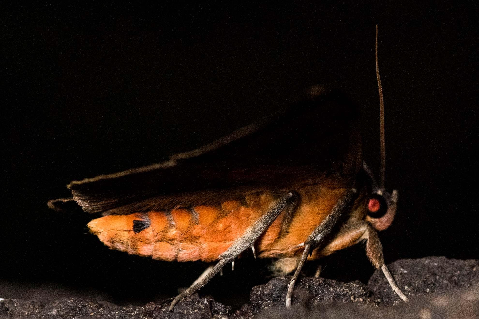 カキバトモエの成虫