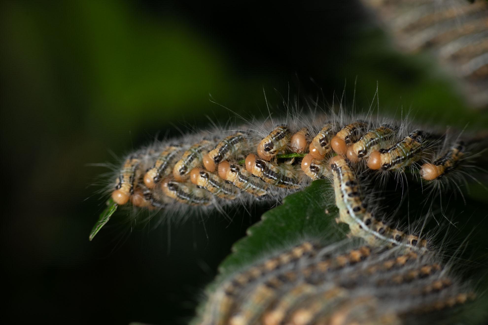 光が丘公園で見られる危険な虫、チャドクガの幼虫