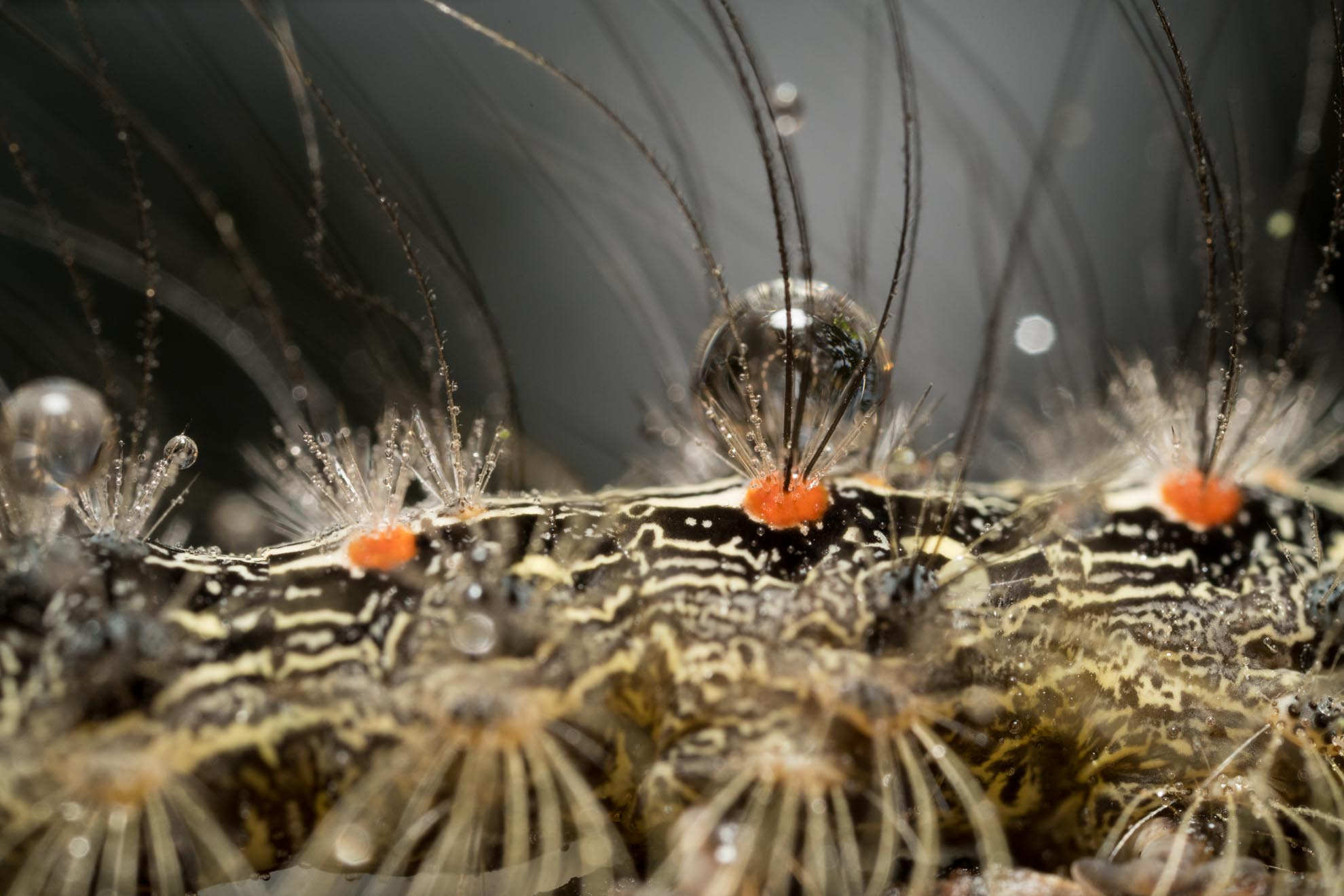 光が丘公園の危険な虫・昆虫・いもむしのヨツボシホソバの幼虫