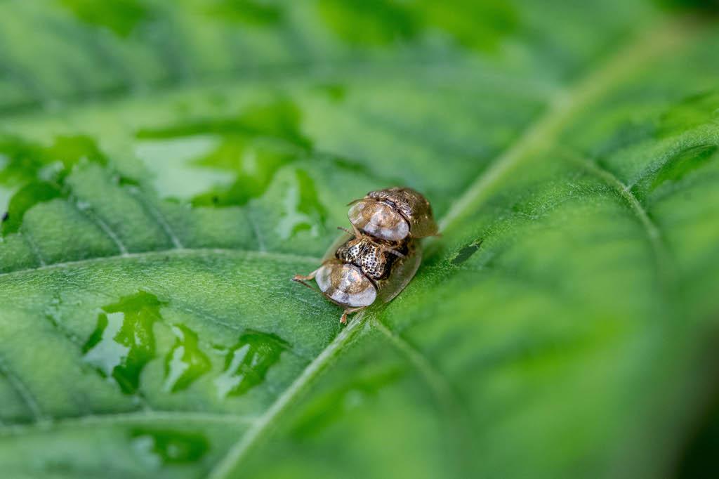 イノコヅチカメノコハムシ