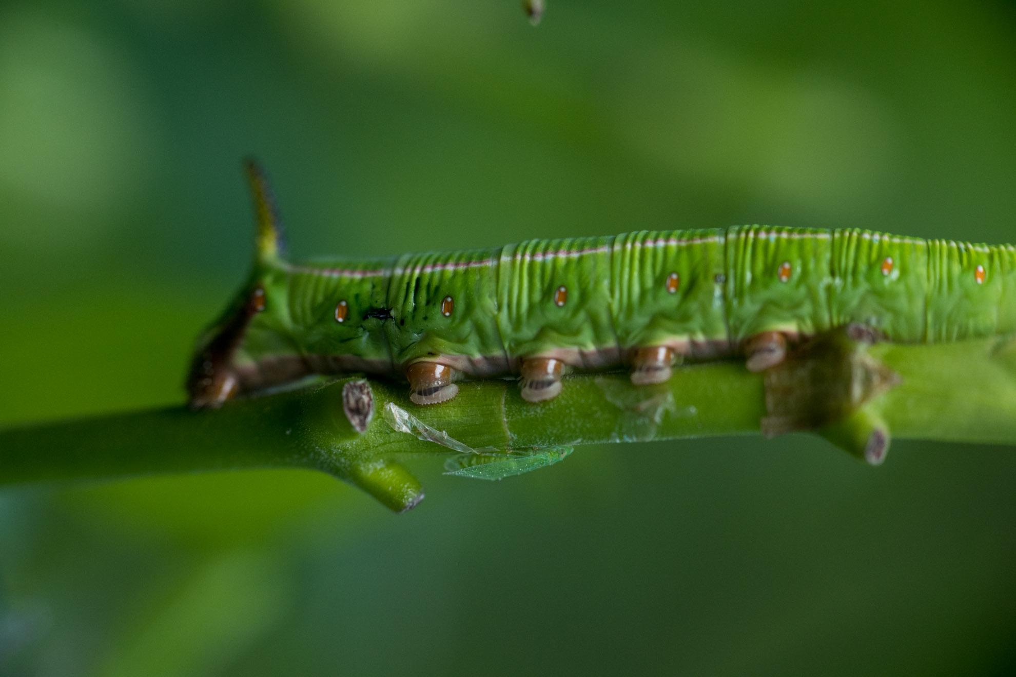 オオスカシバの幼虫