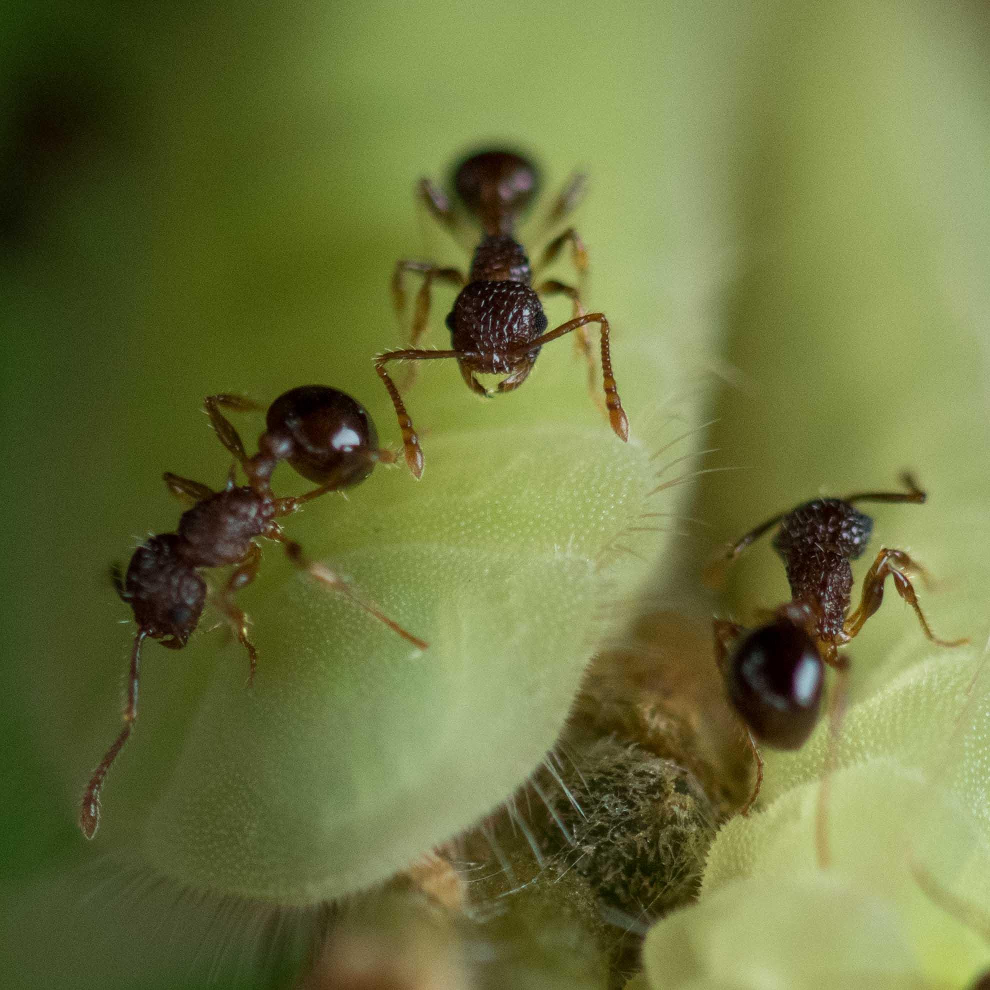ムラサキツバメの幼虫とアミメアリ