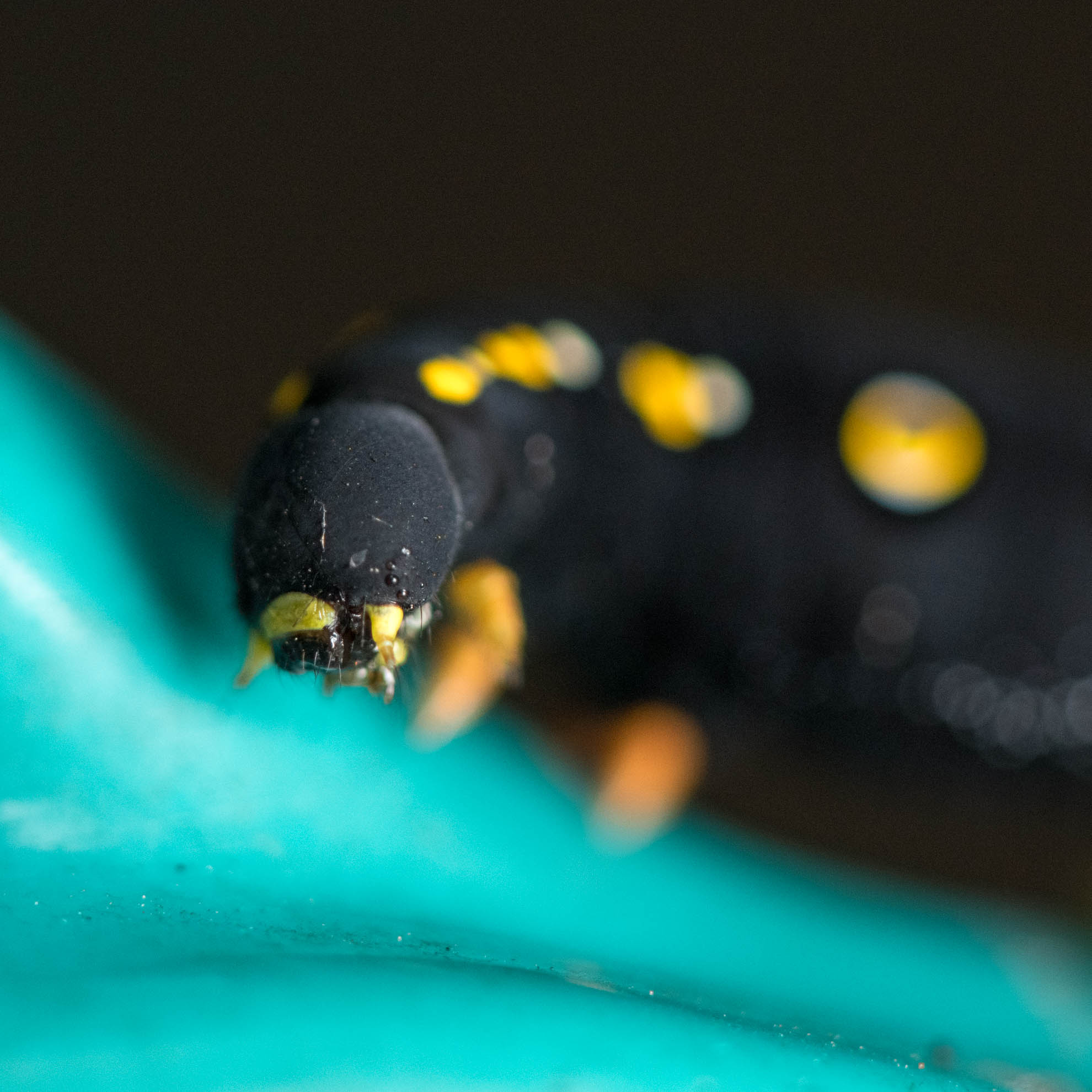 セスジスズメの幼虫