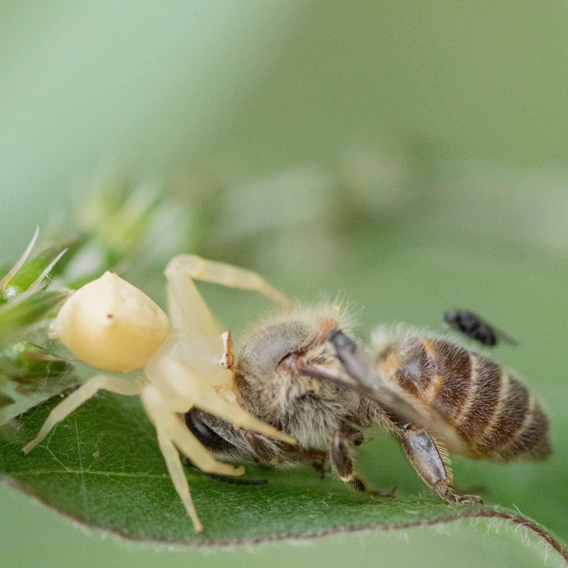 アズチグモの♀とニホンミツバチ
