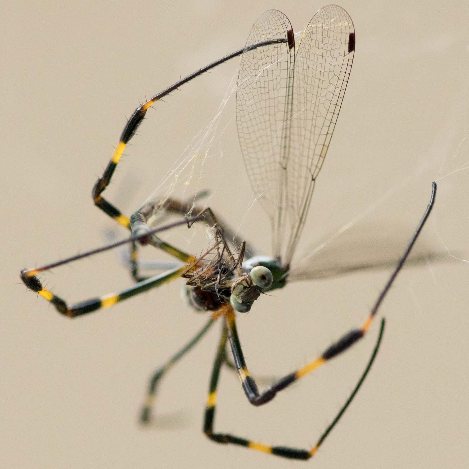 ジョロウグモがアオイトトンボを捕食中
