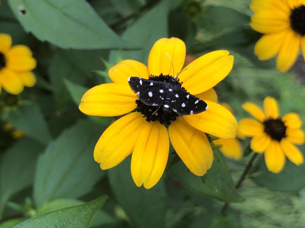 白い点々がかわいい蝶、これはなんだ?
