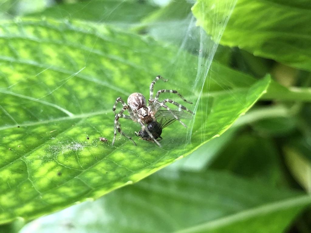 【不明】この白い蜘蛛は?