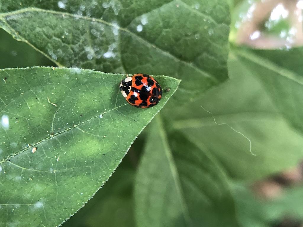 赤と黒が特徴的なてんとう虫