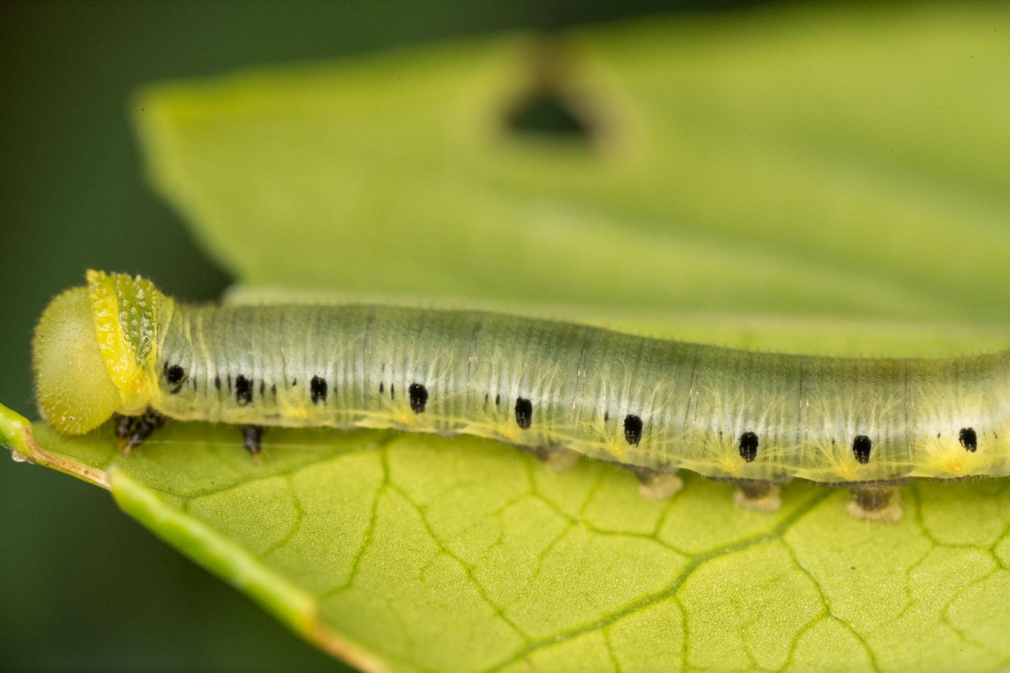 オオスカシバの幼虫の若齢