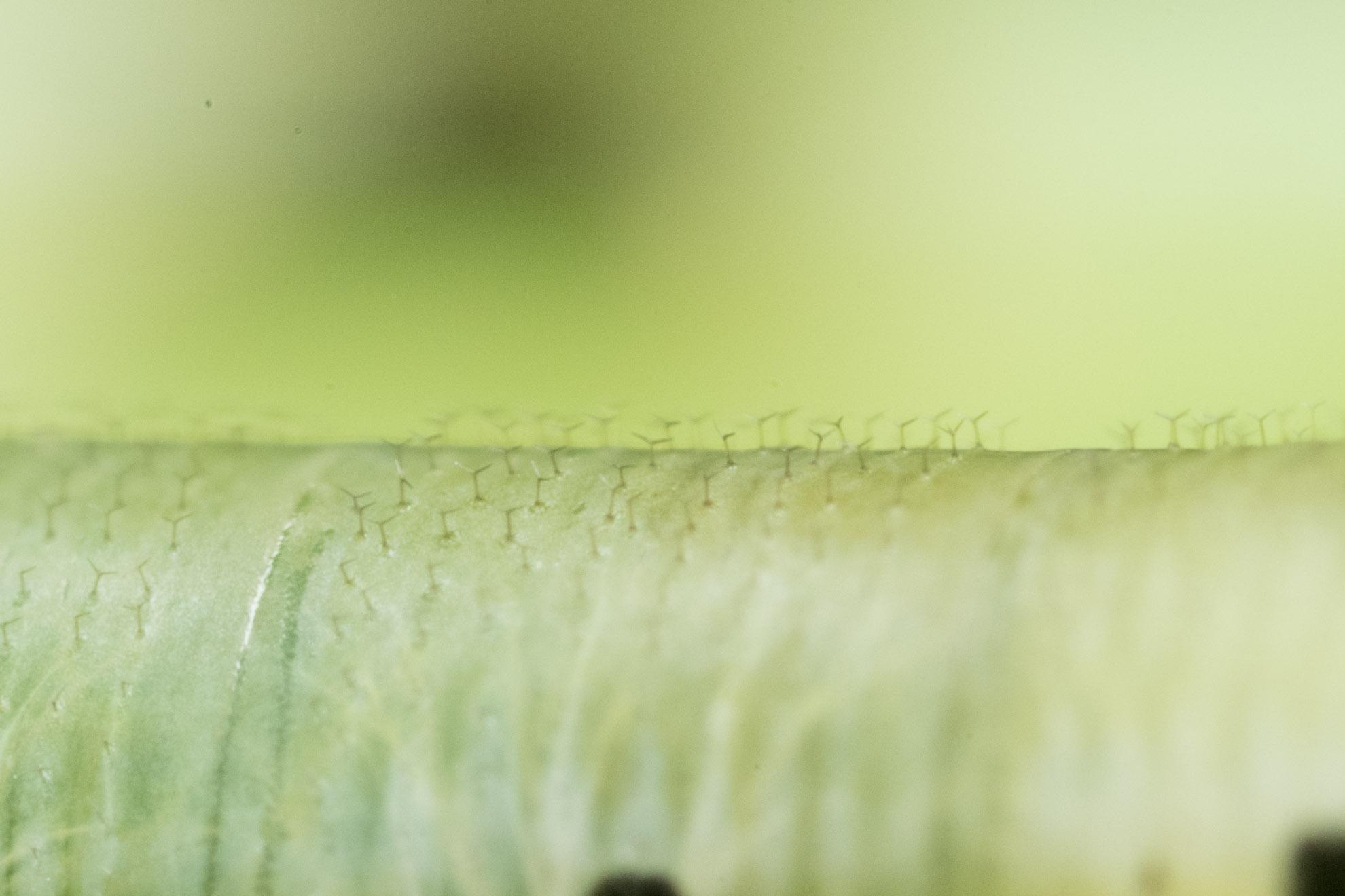 オオスカシバの幼虫の若齢の背中の毛