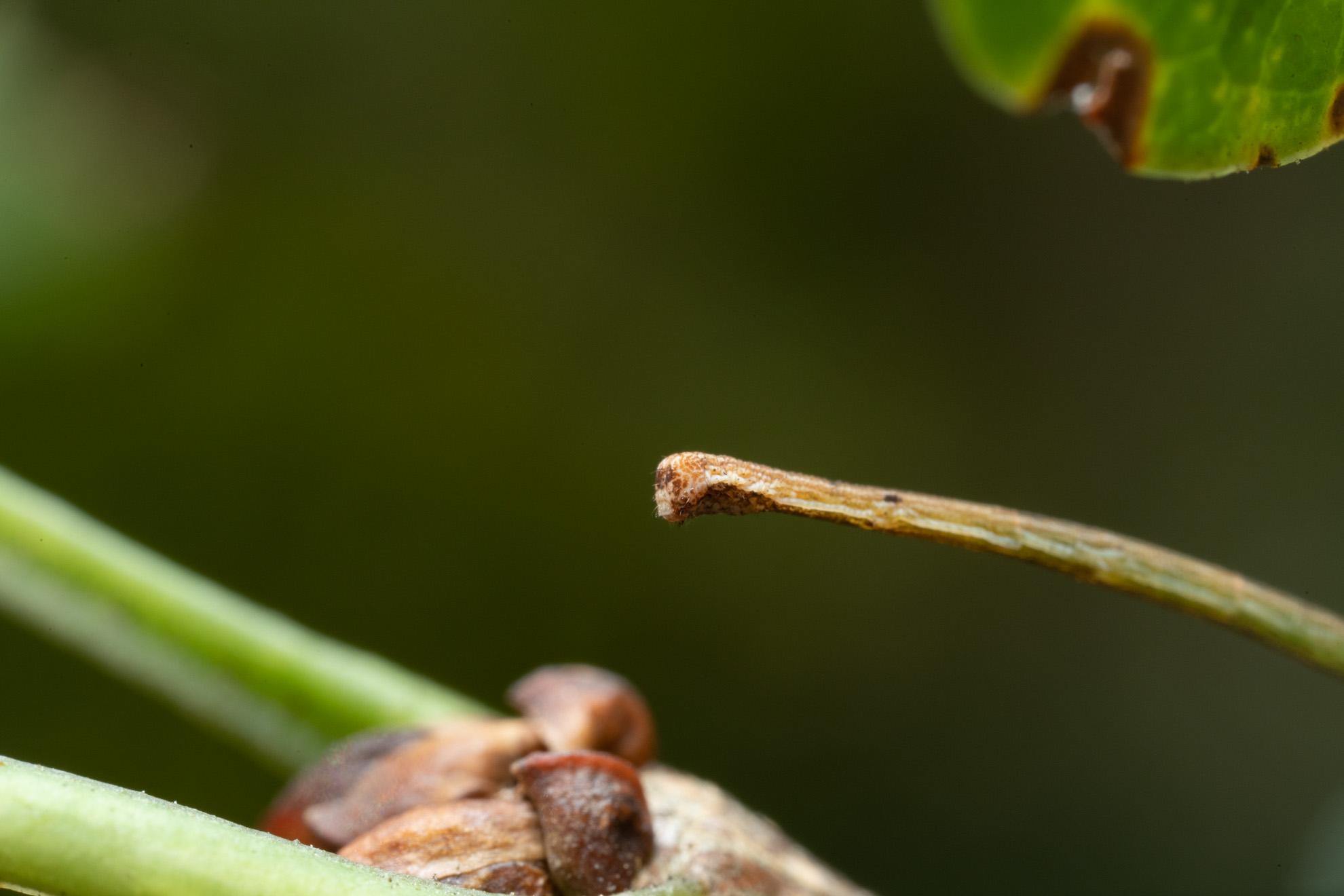 エダシャクの幼虫